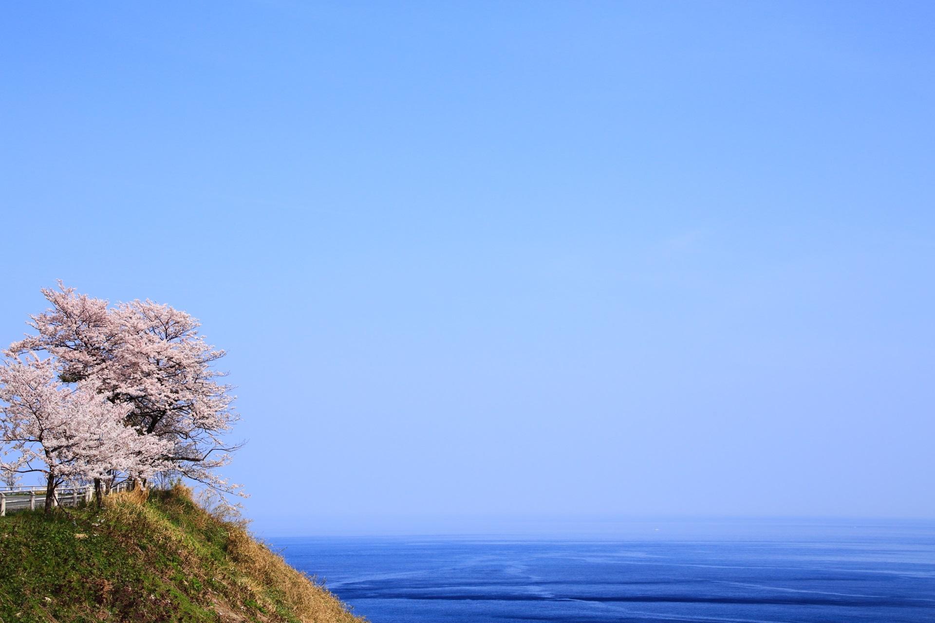 カマヤ海岸の海と青空の中で佇む桜