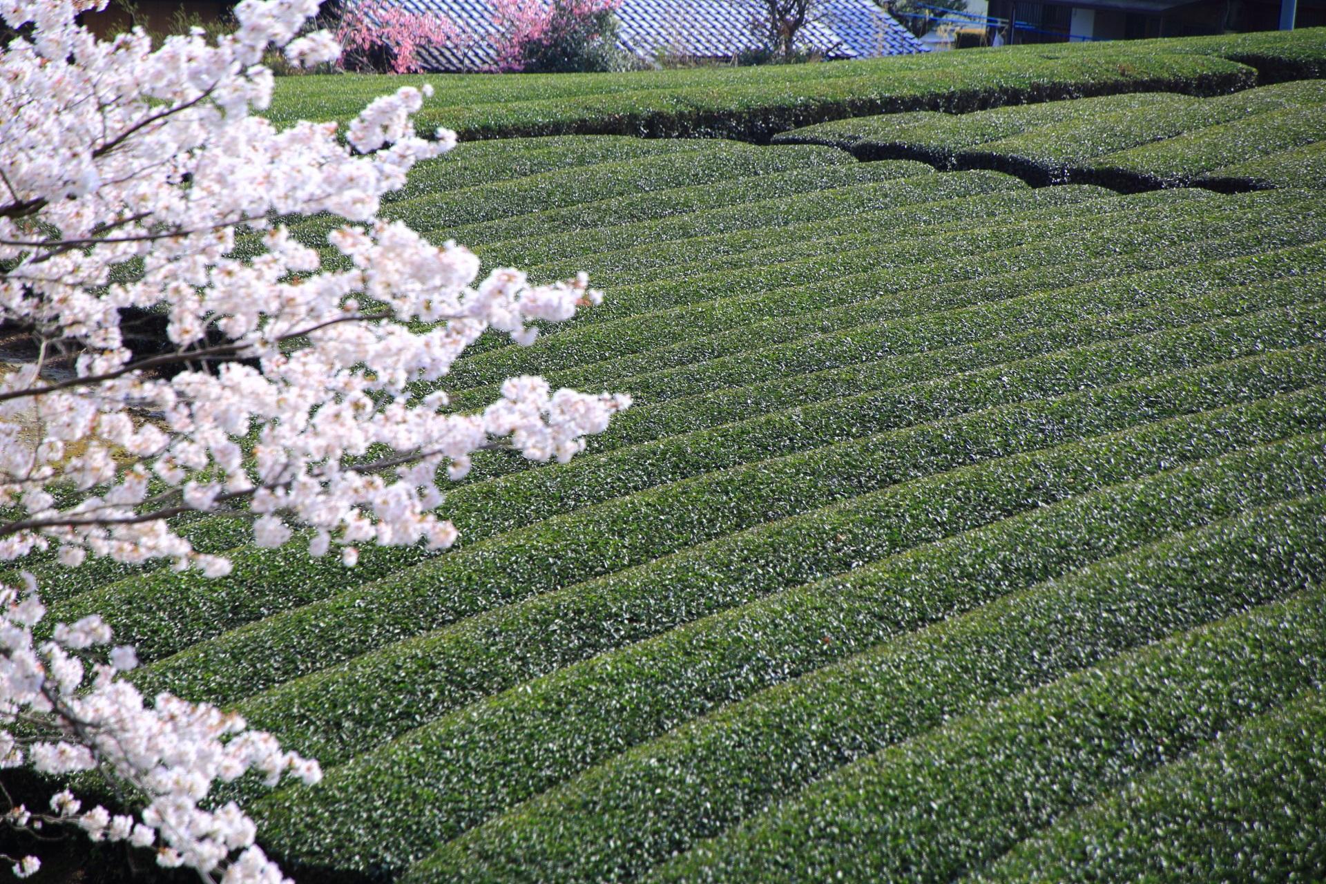 煌びやかな桜が演出する和束町の茶畑
