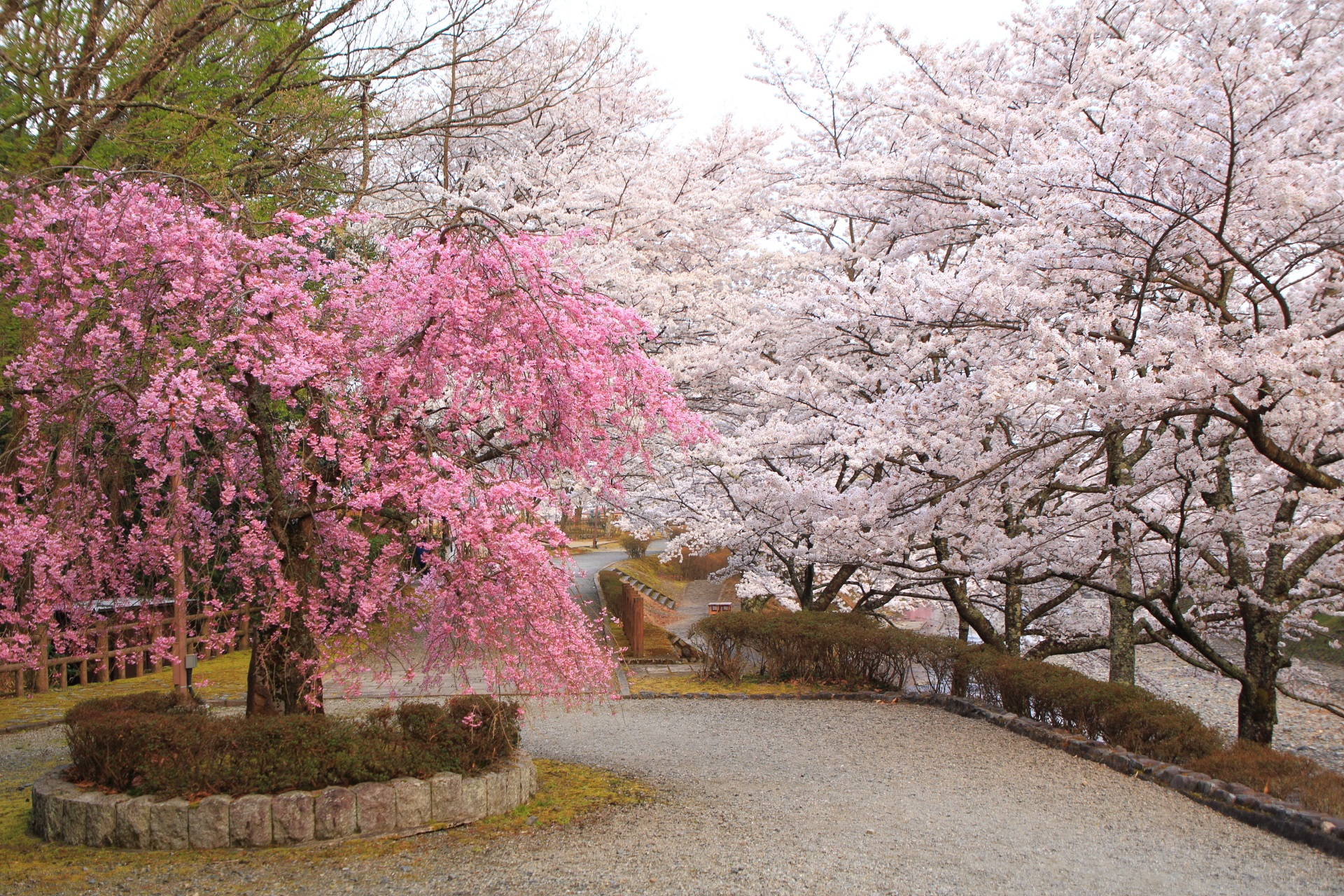 七谷川の水辺を染める華やかな桜