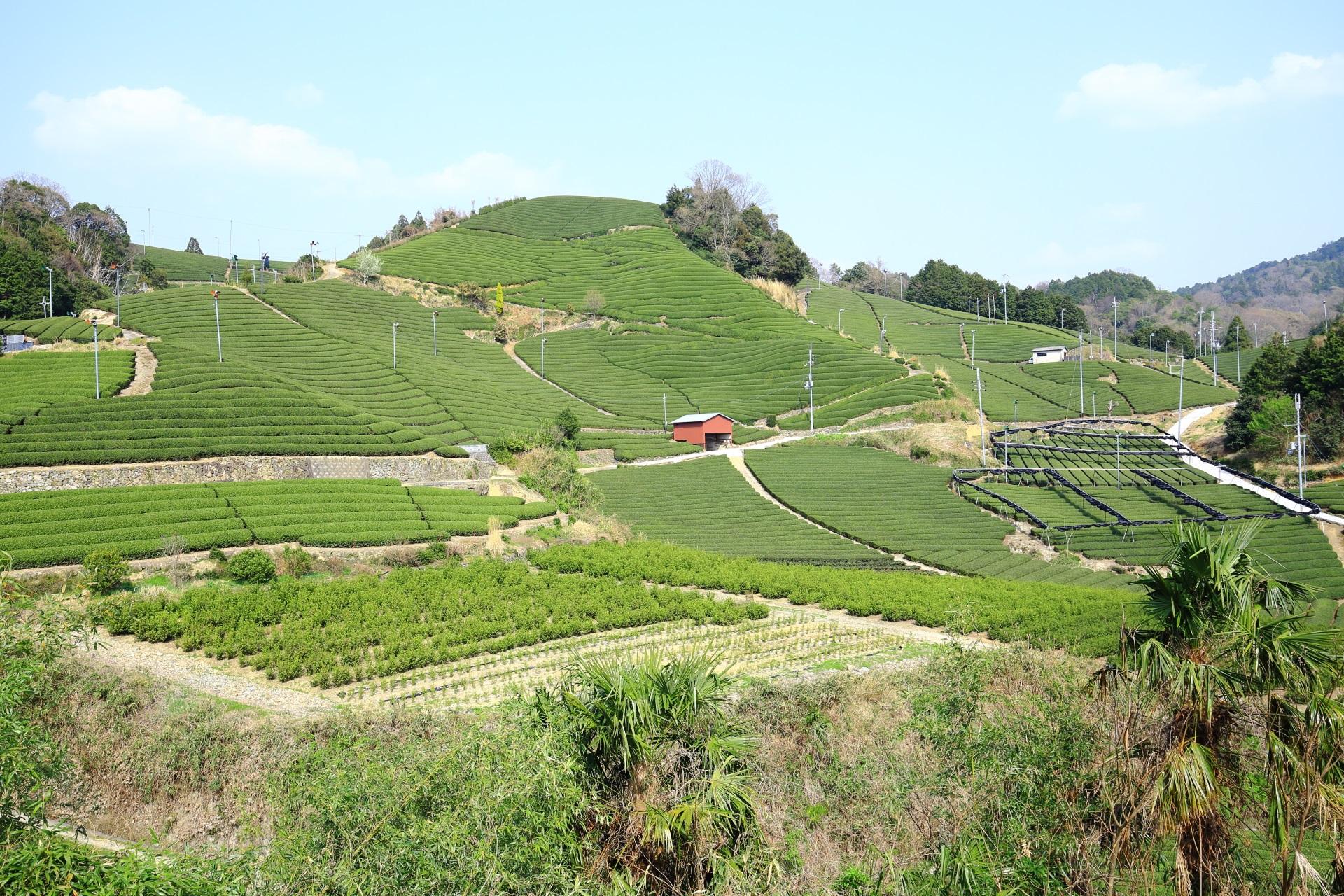 和束町の石寺の茶畑