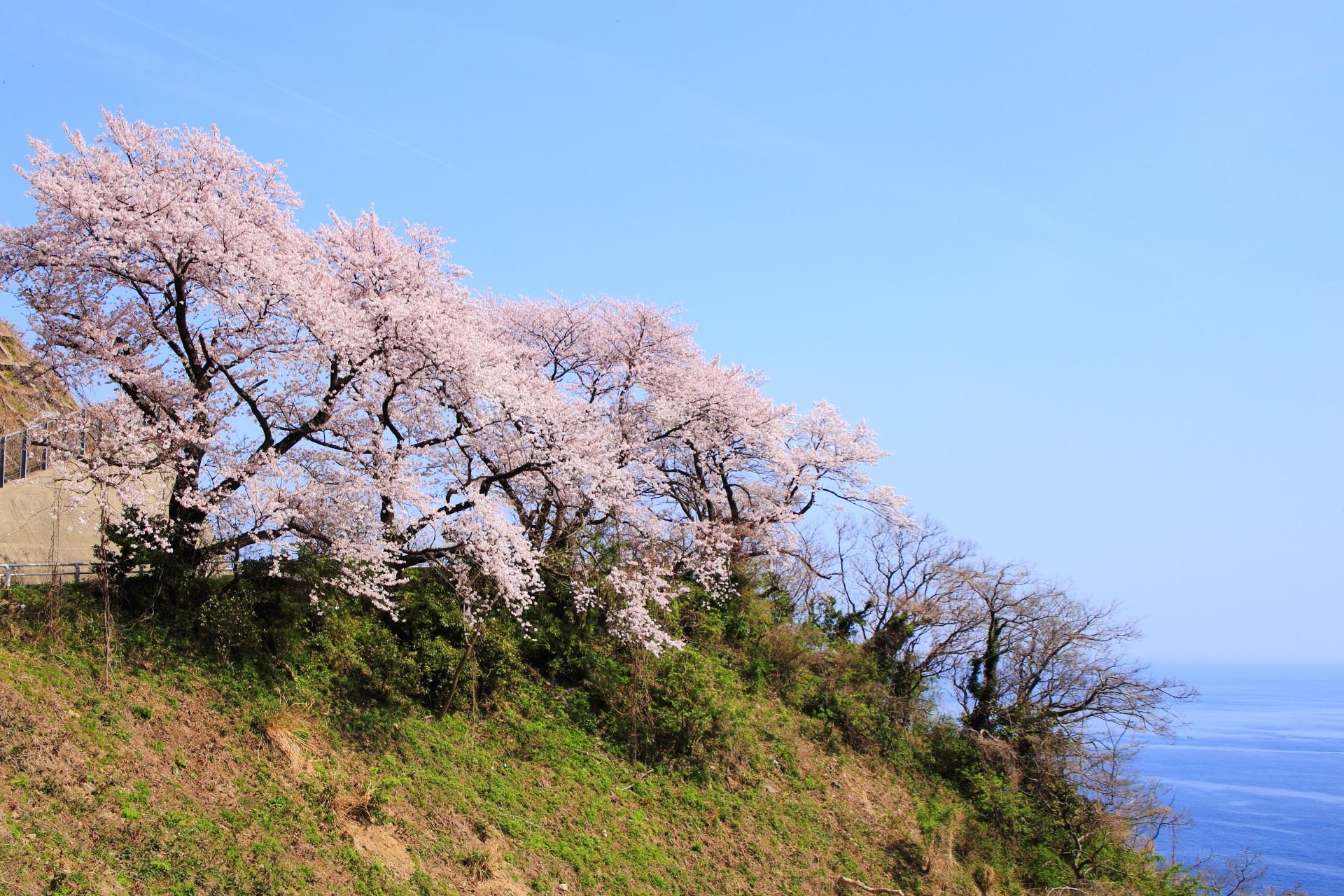 カマヤ海岸の海に面した崖の上に佇む桜
