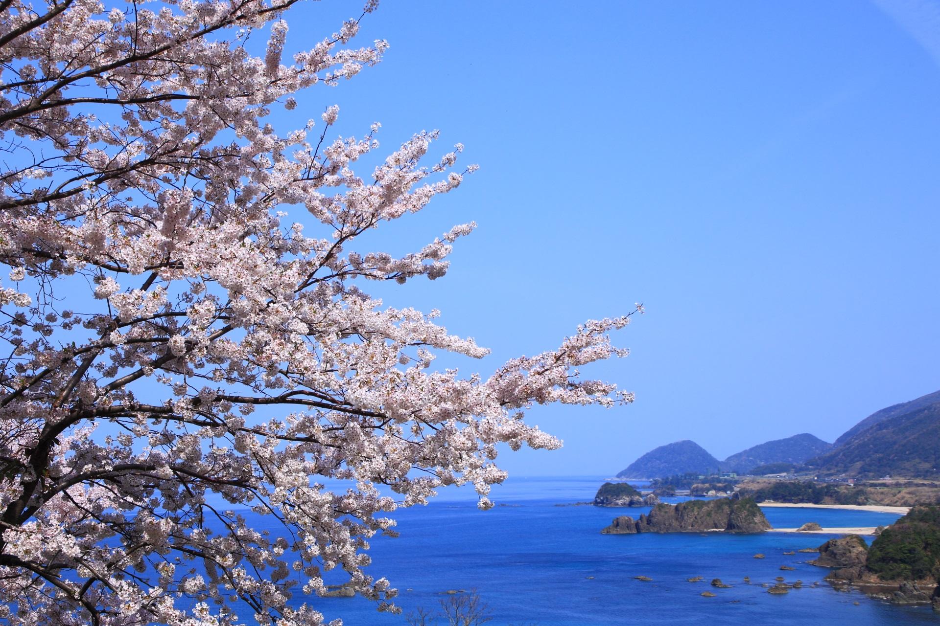丹後松島の雲一つない青空を華やぐ桜
