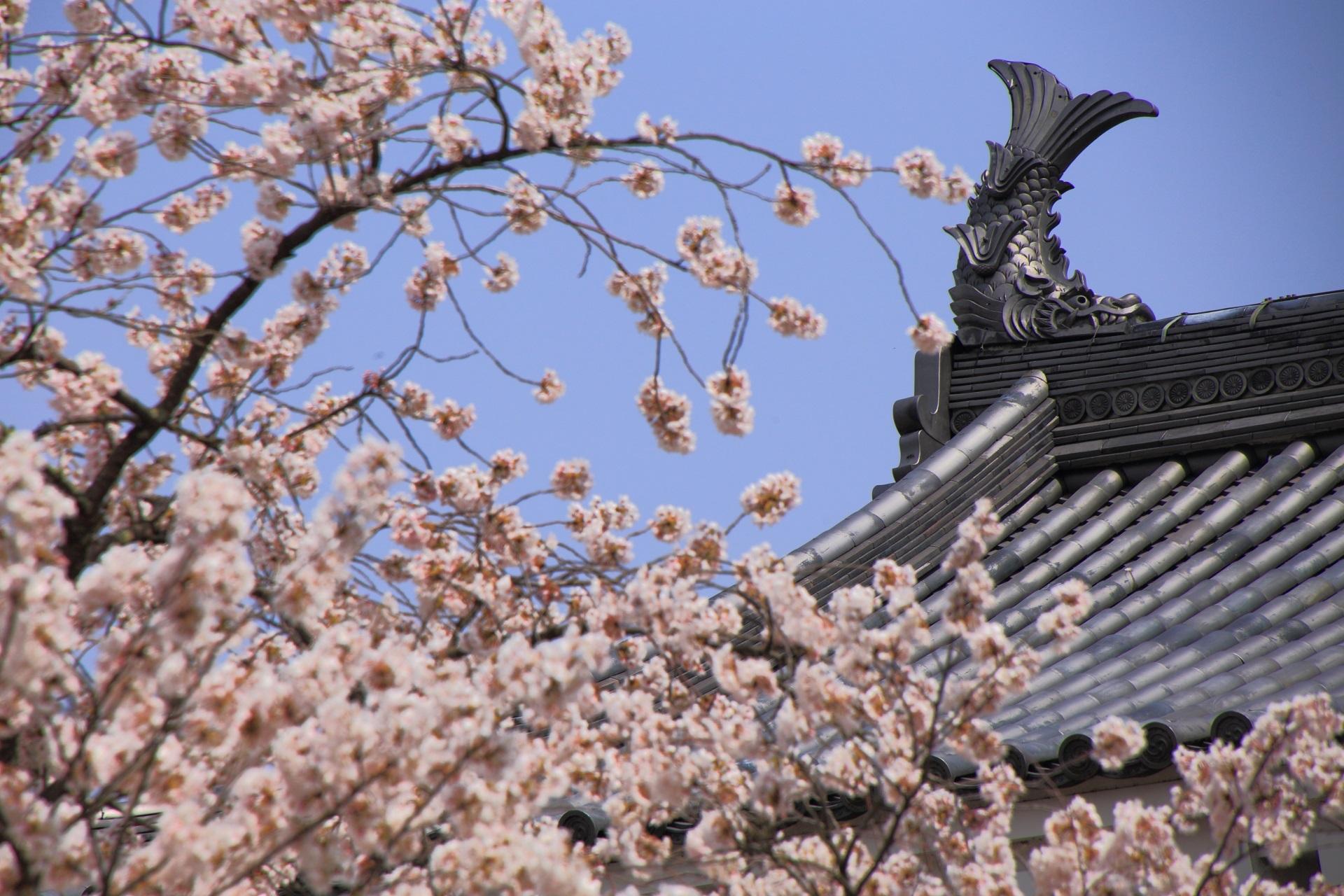 桜につつまれた福知山城天守の鯱(しゃちほこ)