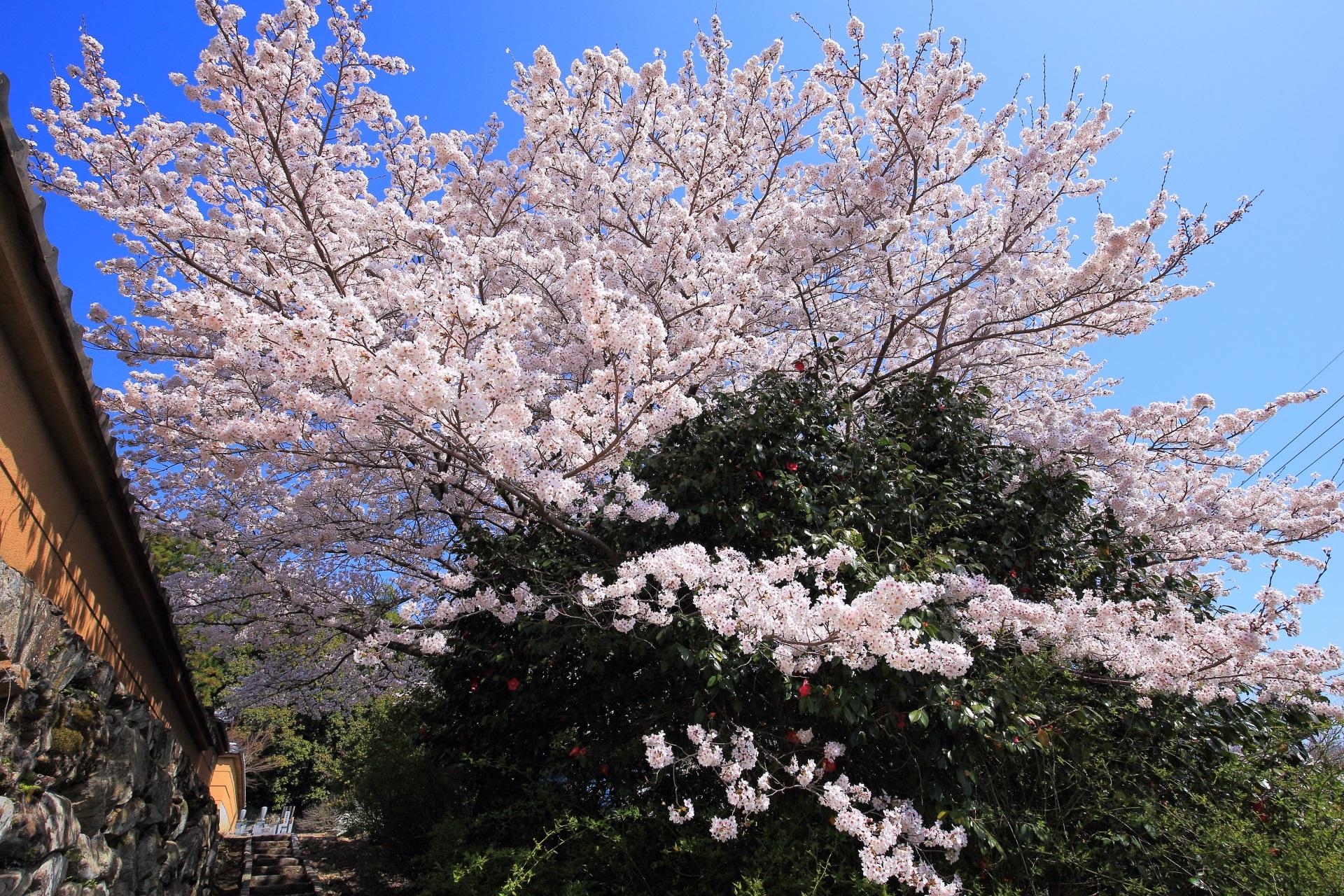 願徳寺の素晴らしい桜と春の情景