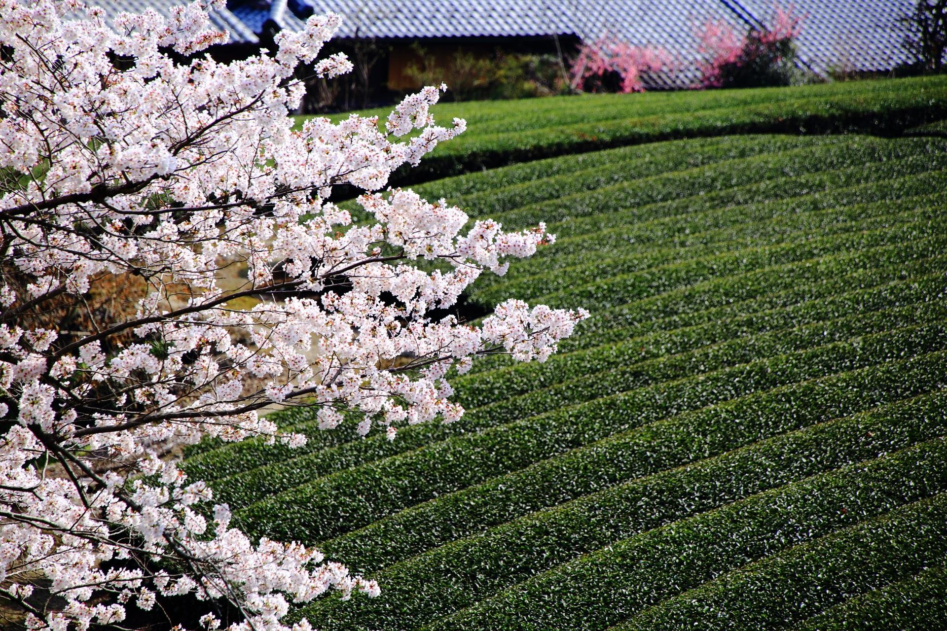 和束町の緑の茶畑に映える華やかな桜