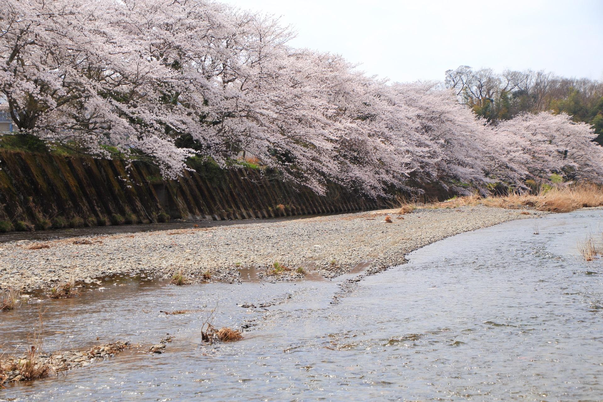 和束町の川辺から眺めた祝橋の桜