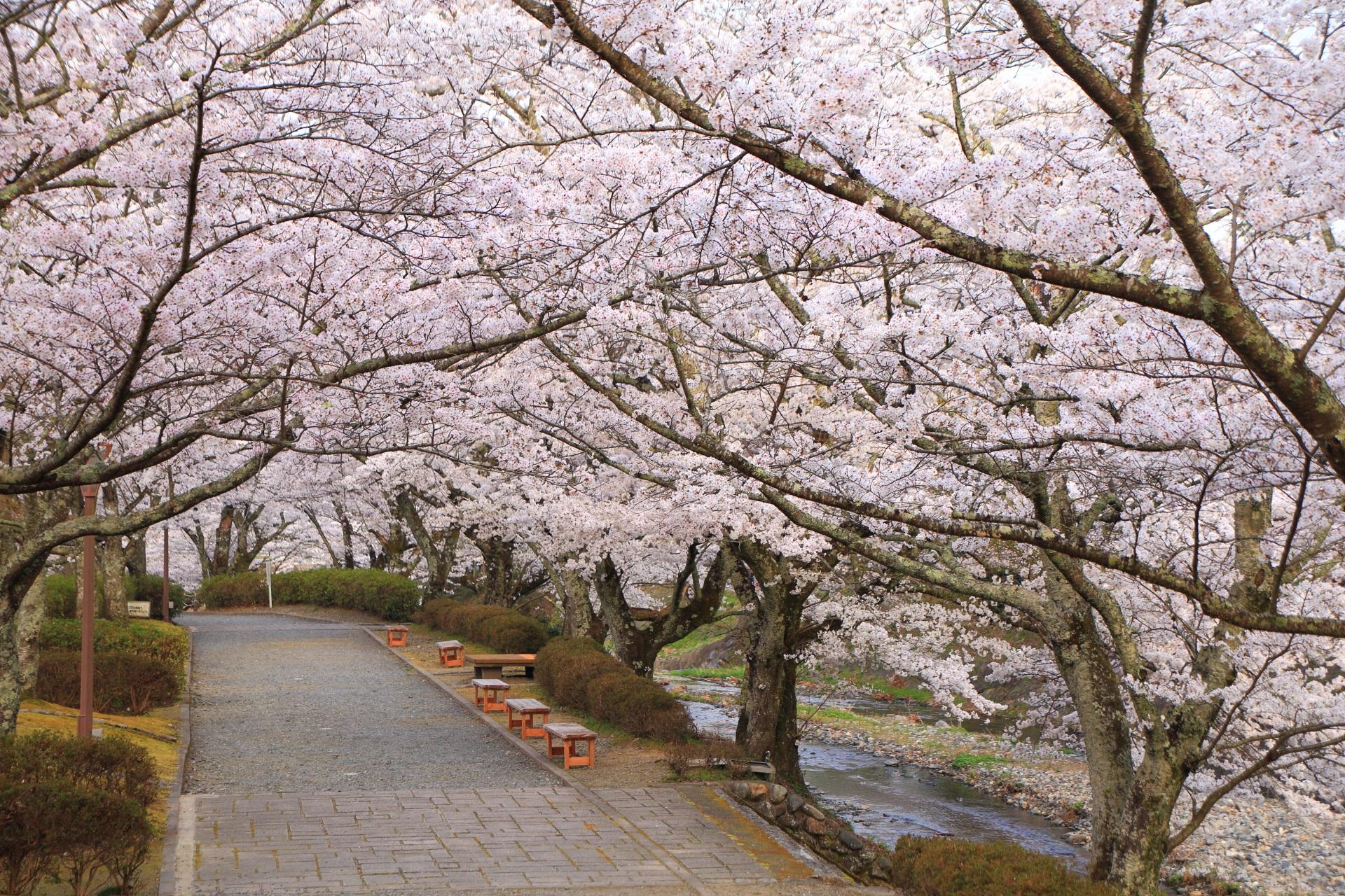 和らぎの道と水辺を覆う桜