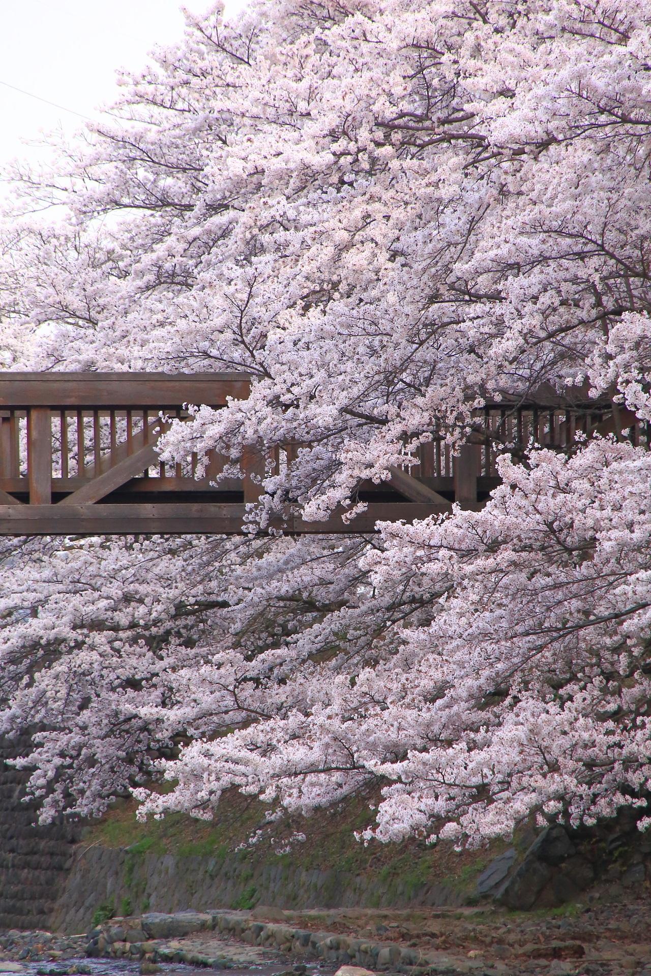 七谷川の凄すぎる桜