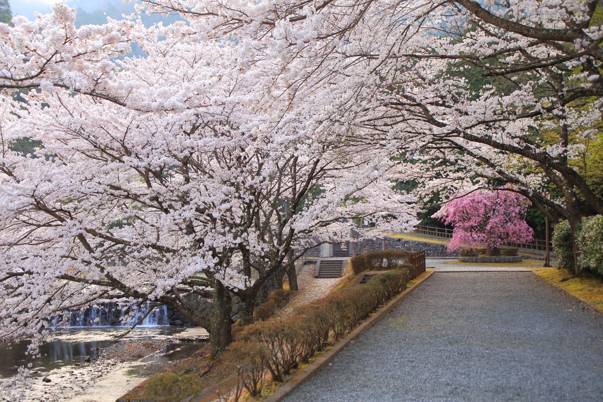 七谷川を覆うソメイヨシノと佇むしだれ桜