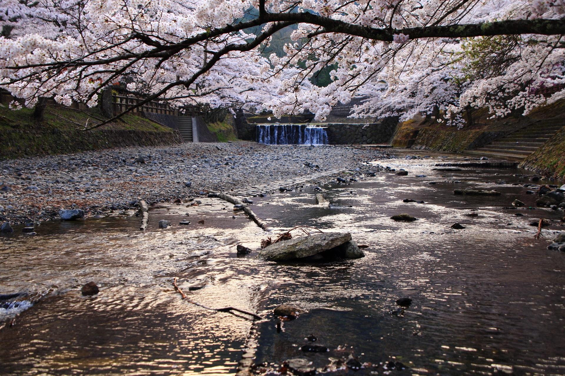 七谷川の水面を覆う美しい桜