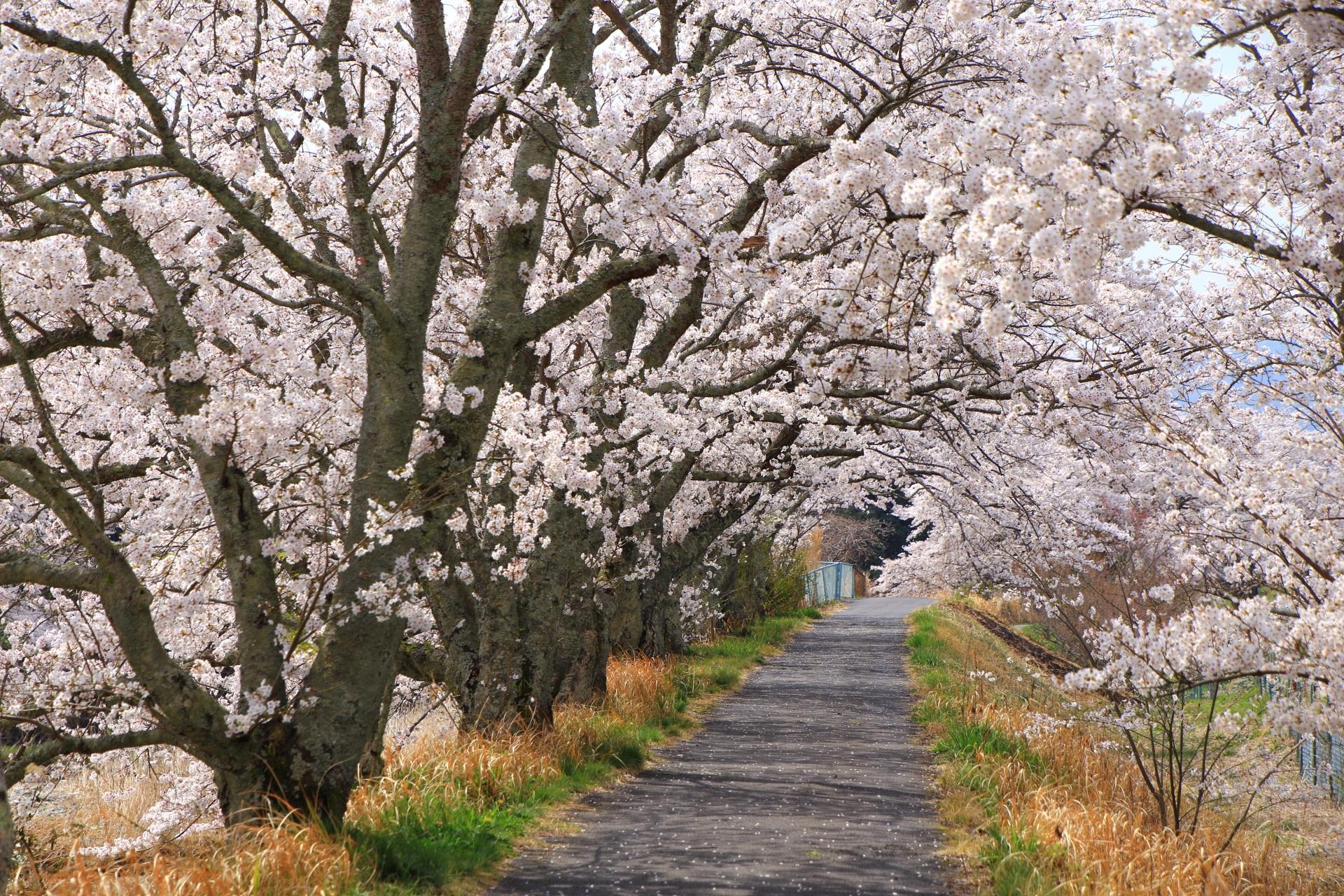 川沿いに通る和束町の凄すぎる桜の道