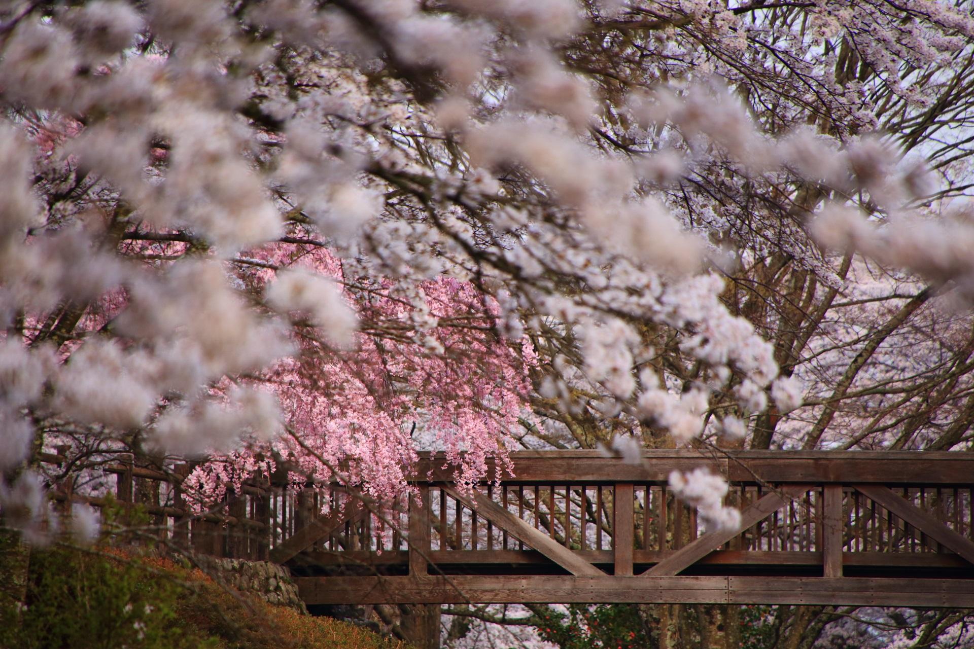 七谷川のソメイヨシノの中で咲くしだれ桜