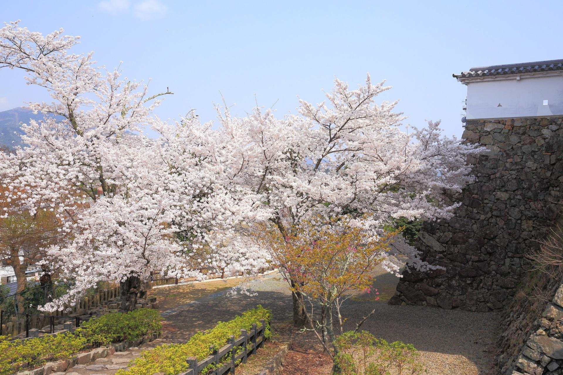 福知山城の西側の二の丸の桜