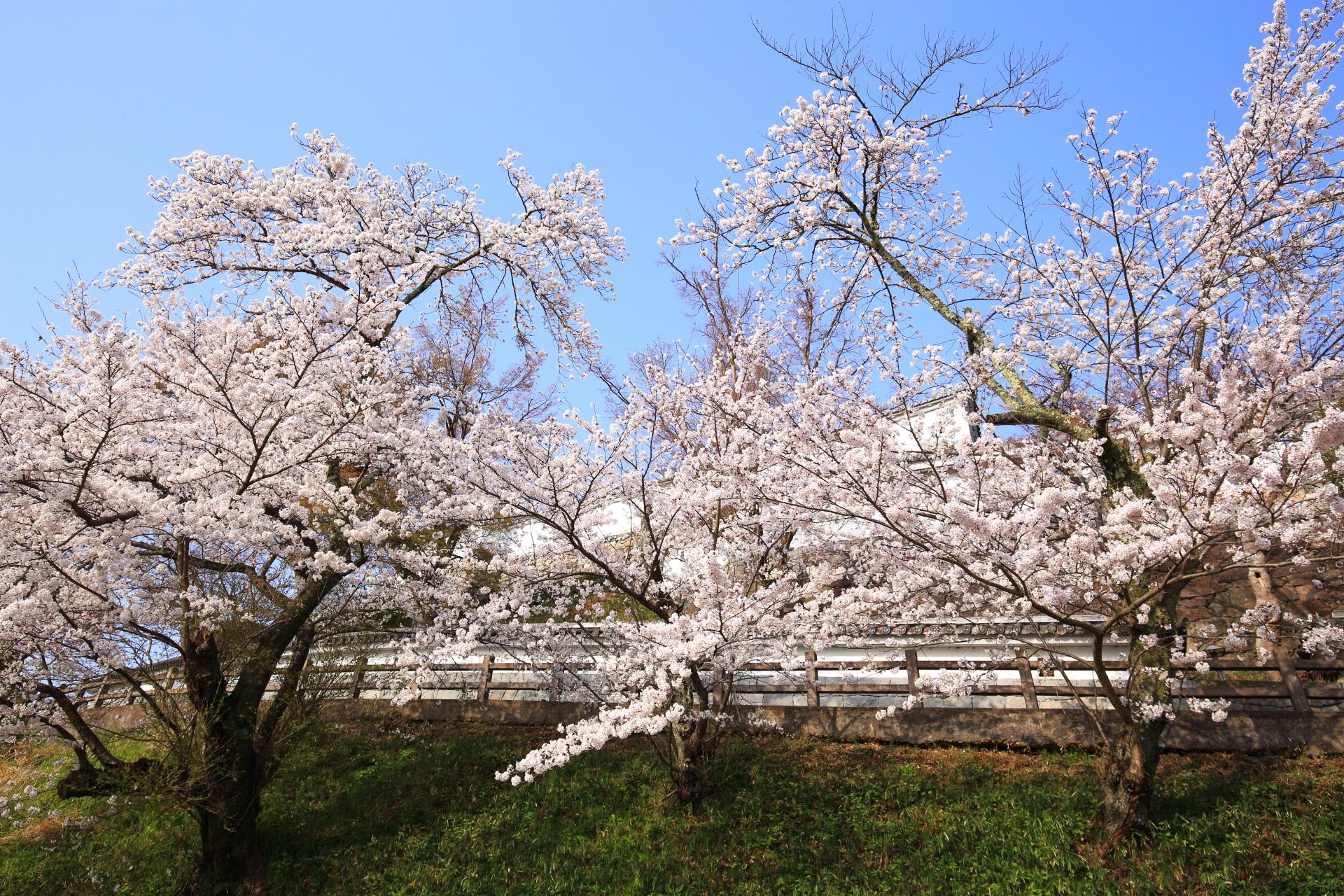 福知山城の大きく羽を広げたような桜