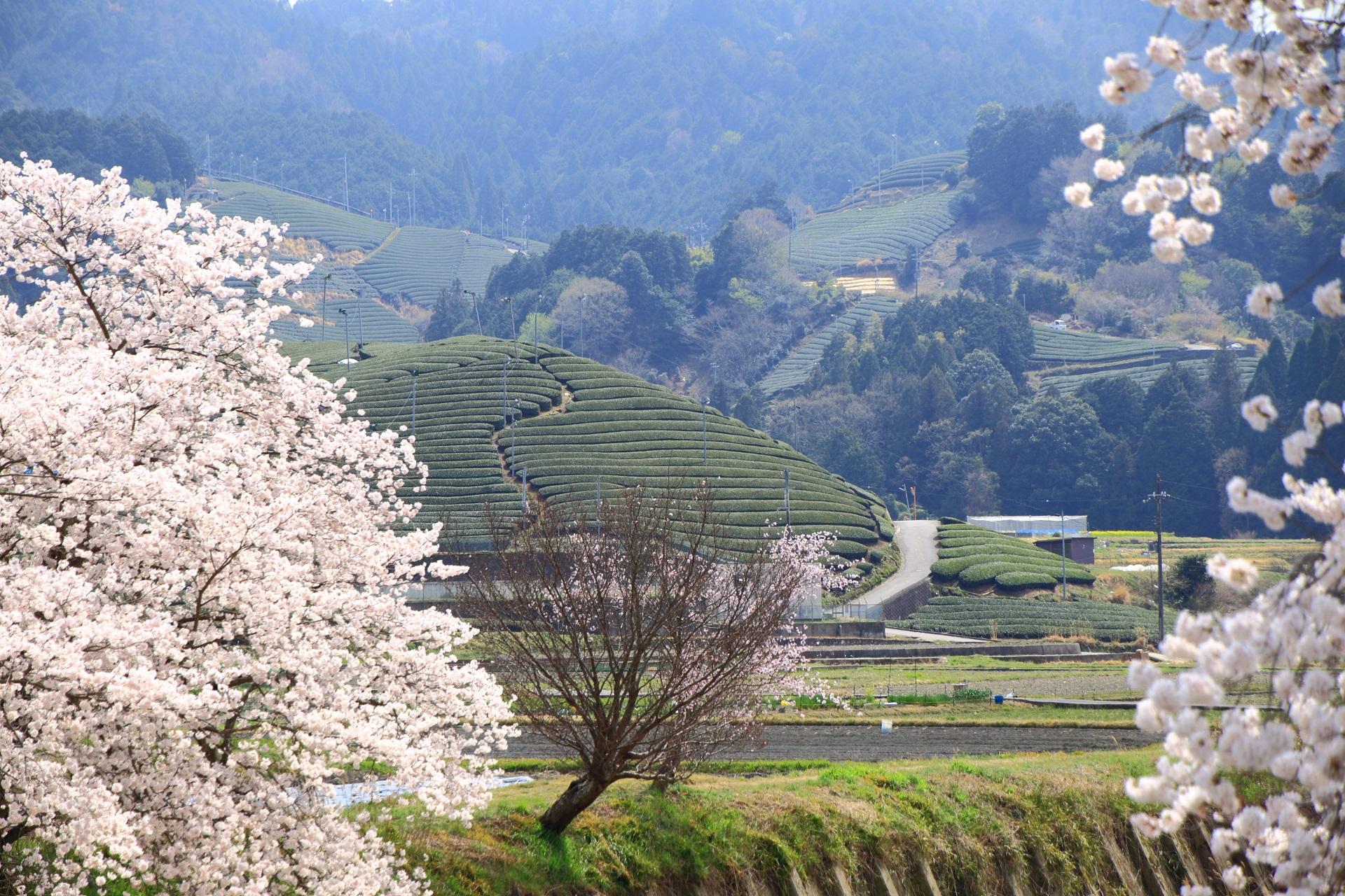 和束町の咲き誇る桜と茶畑
