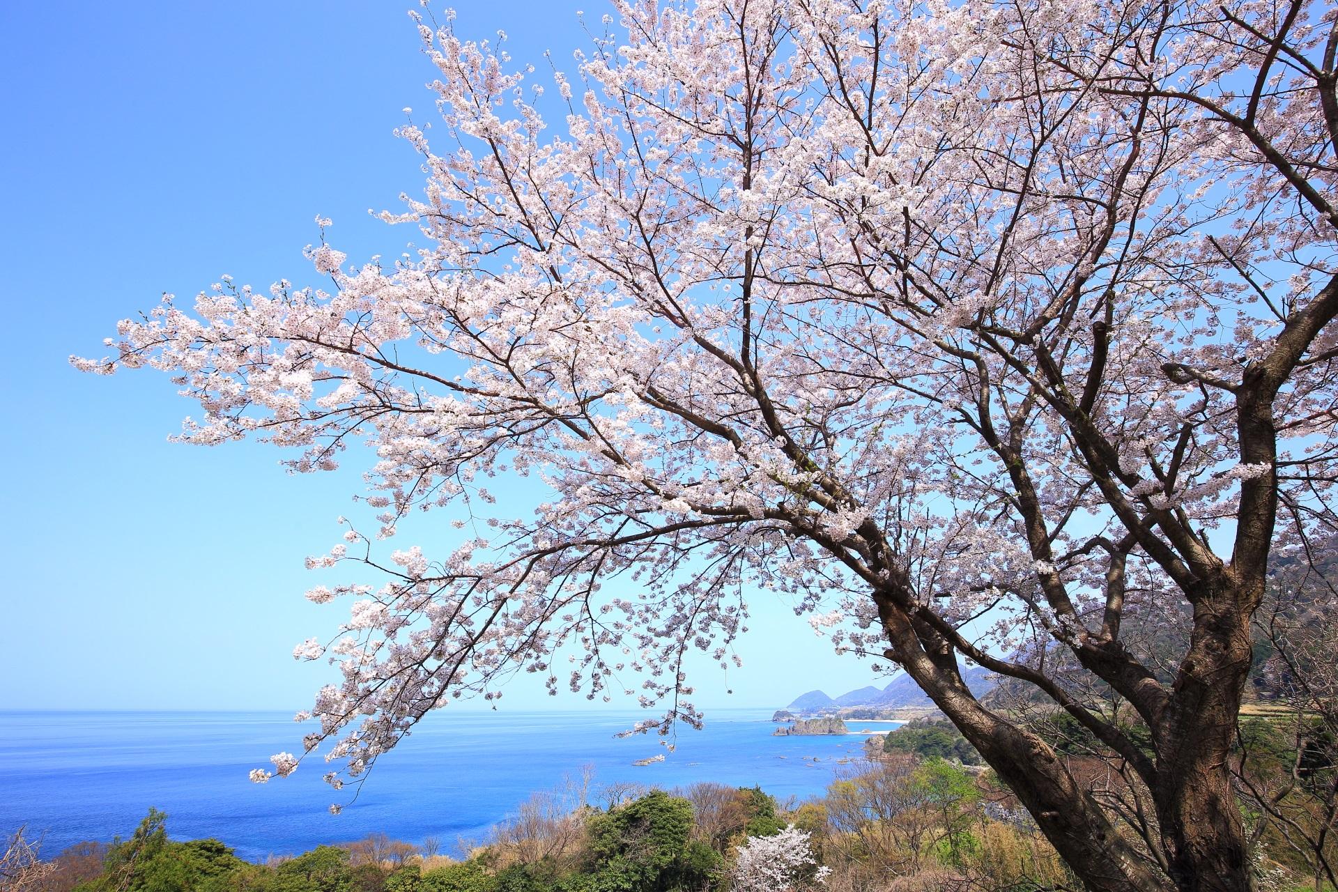 丹後松島の別世界のような海の桜
