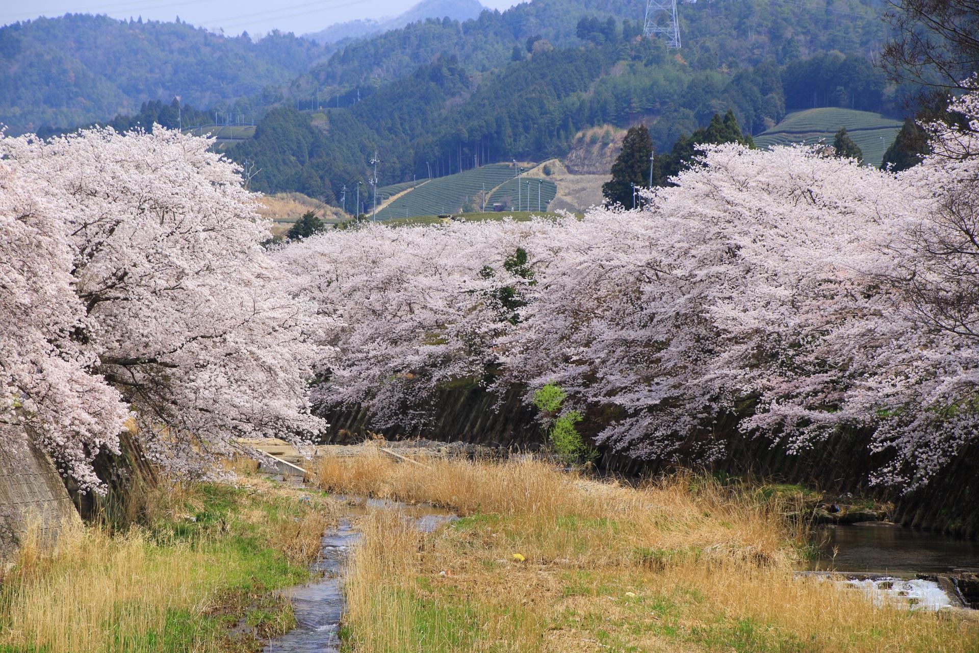 和束町の咲き乱れる桜と山々や茶畑