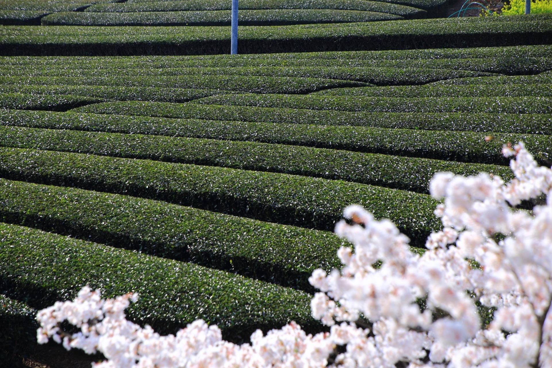 和束町の輝く桜の向こうに広がる茶畑
