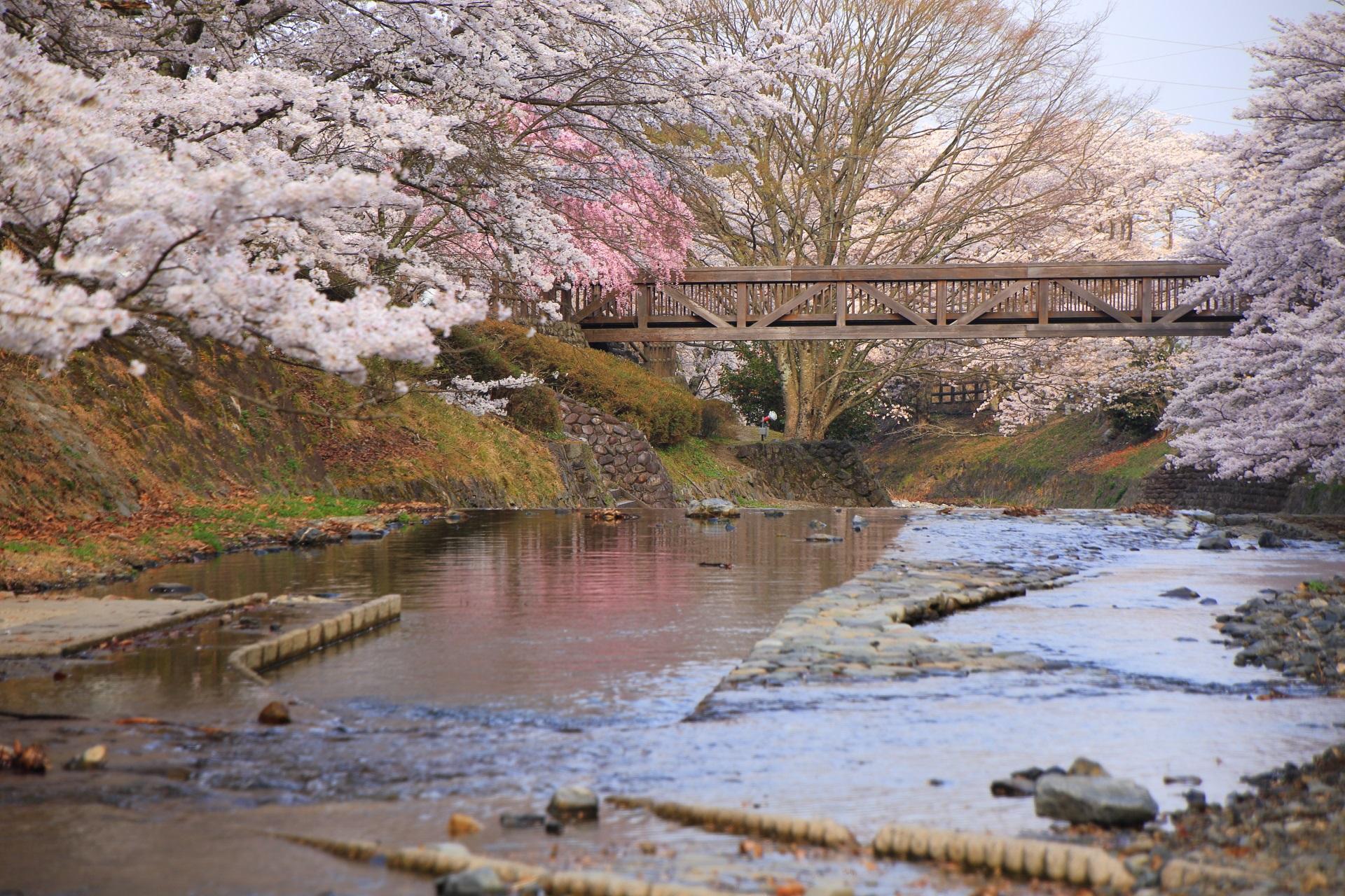 七谷川の咲き乱れる桜と木の橋