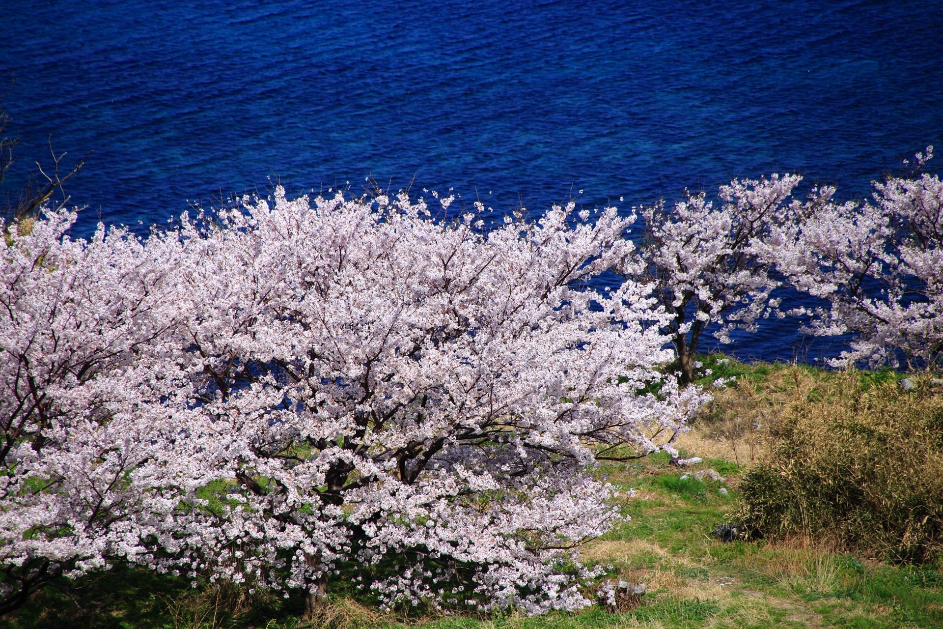丹後松島の海辺で咲き誇る桜