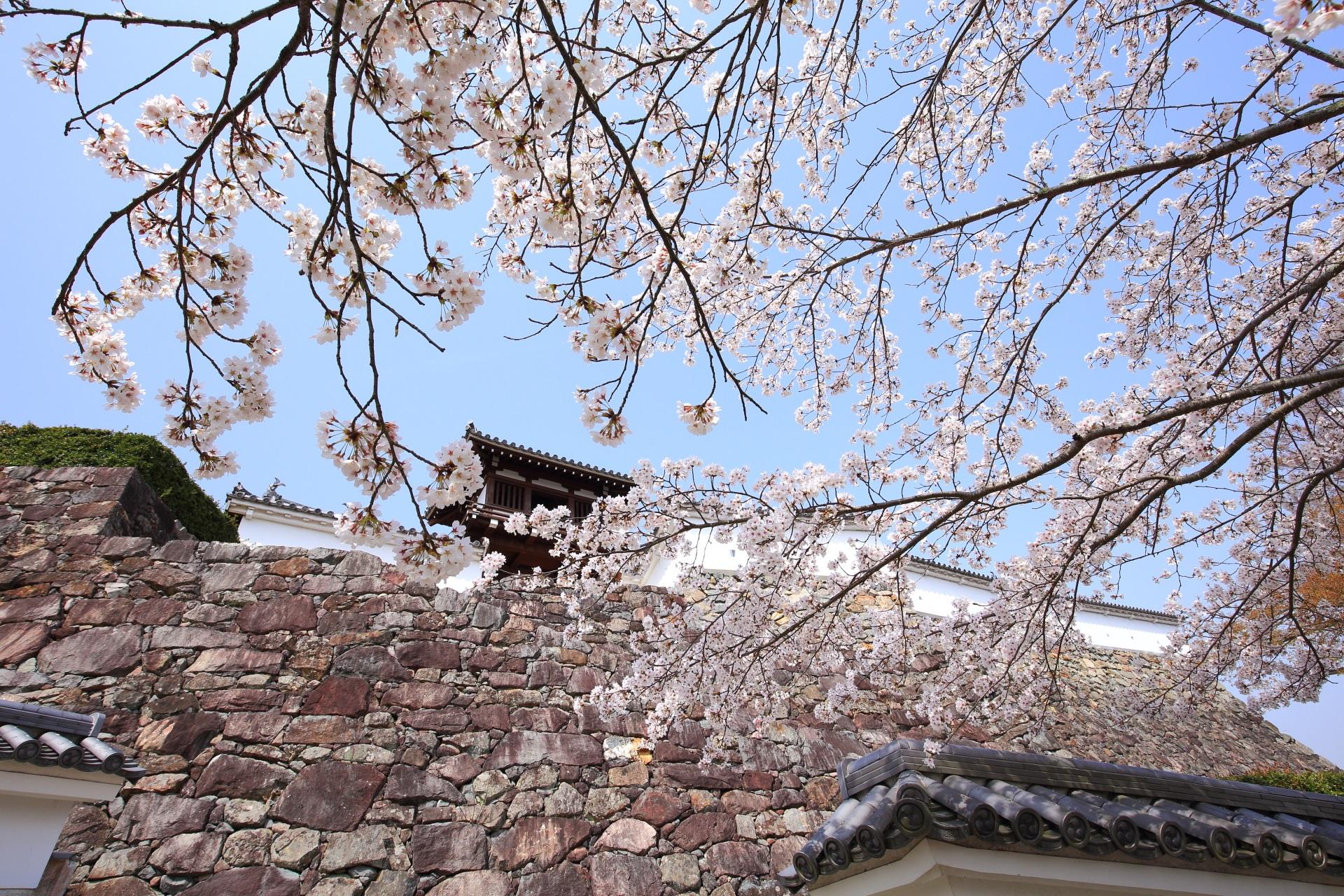 青空と石垣を覆う絶品の桜