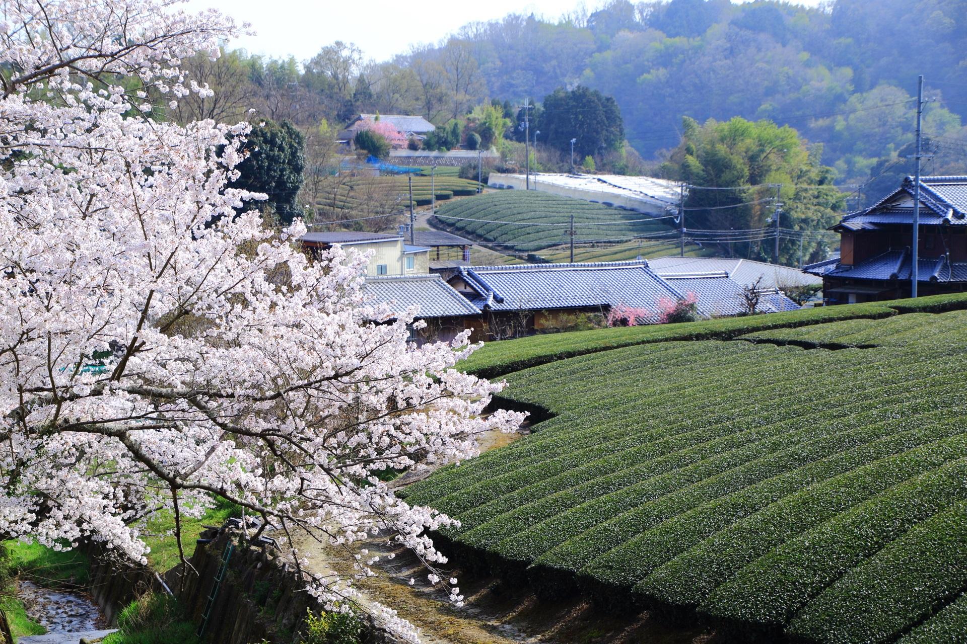 和束町の和束高橋の桜