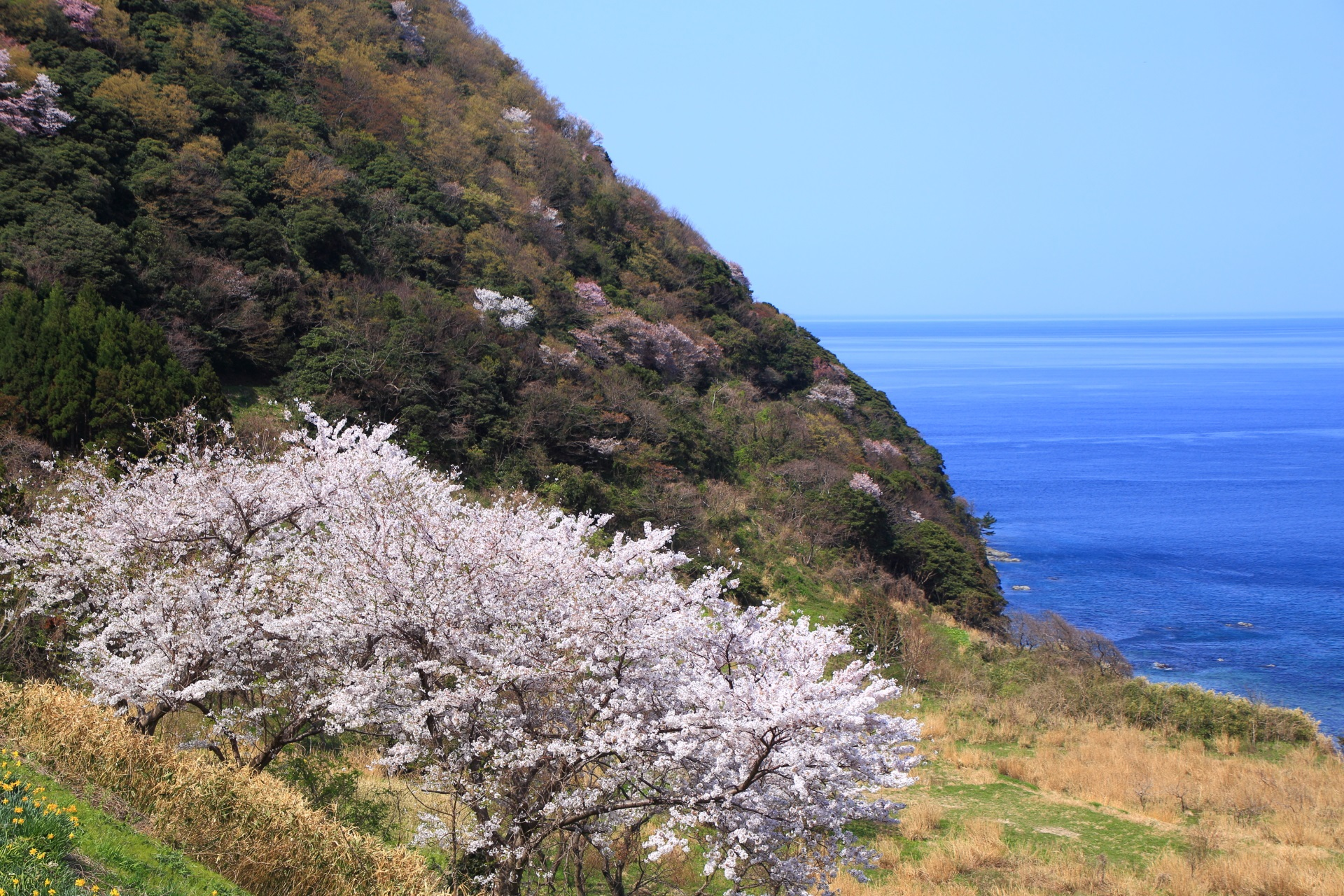 犬ヶ岬の海を華やぐ桜