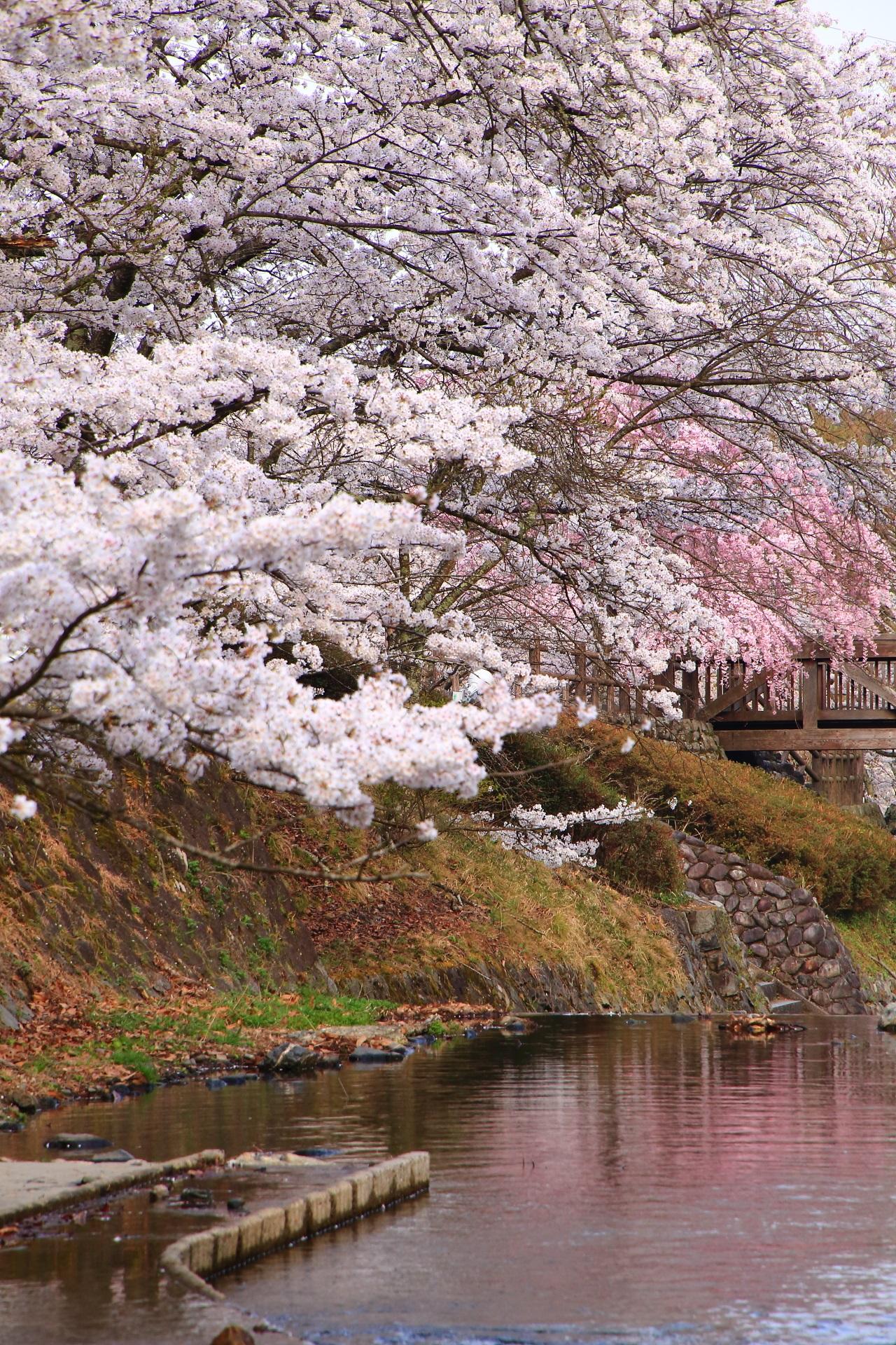 七谷川の白とピンクの桜の水鏡