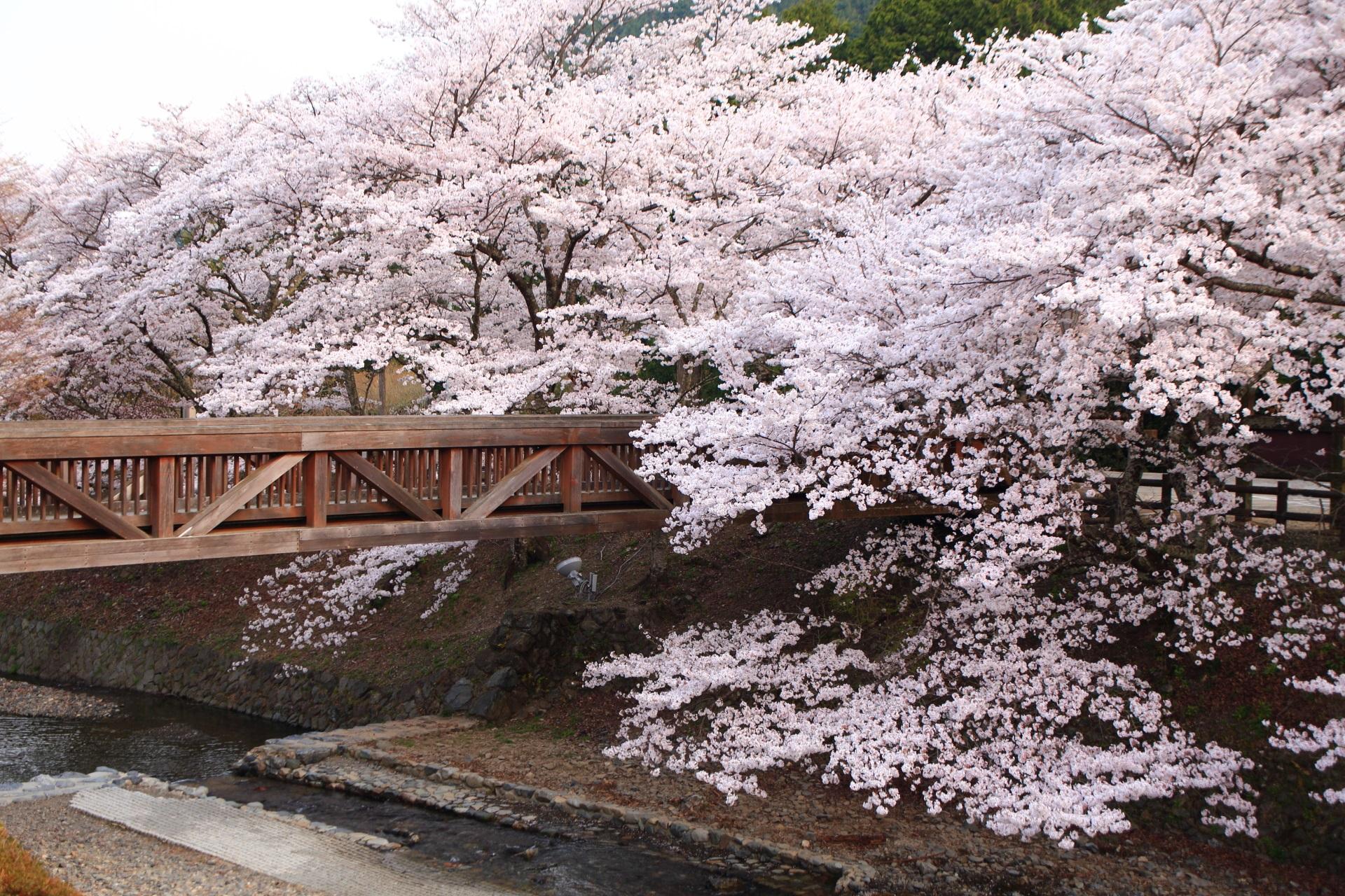 七谷川の情緒ある木製の橋を覆う桜