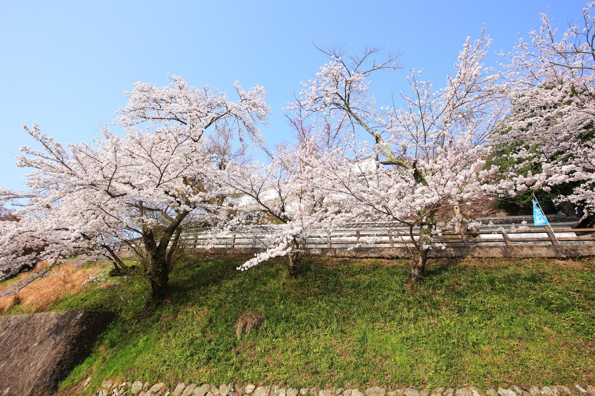 福知山城の本丸東側の登城道を華やぐ桜