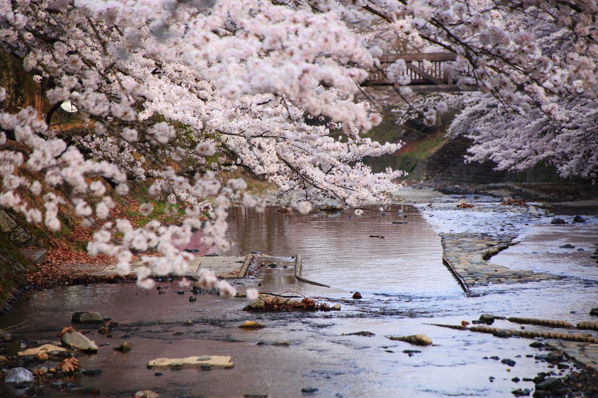 七谷川の長閑な水辺を染める桜