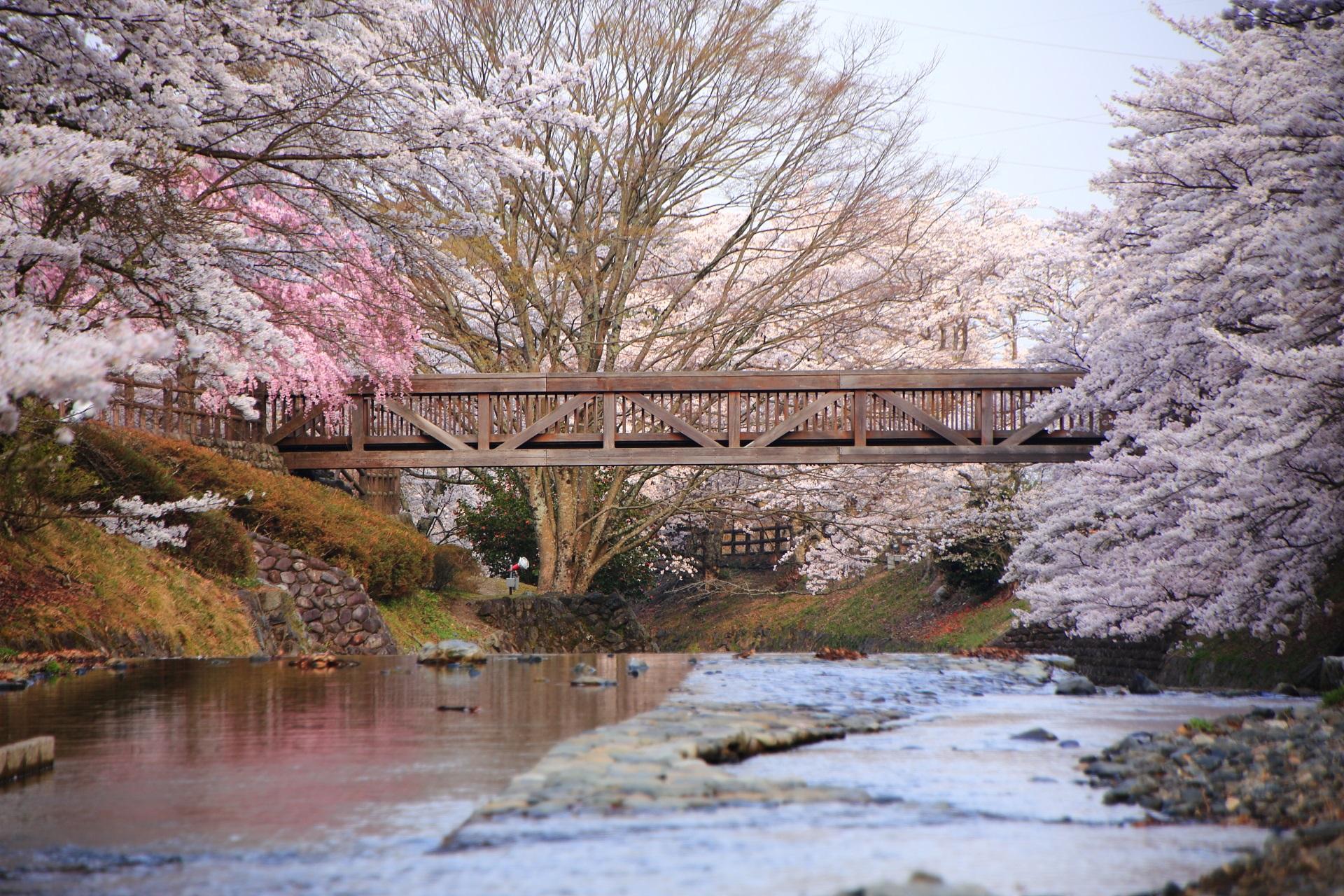 高画質 写真 七谷川 桜