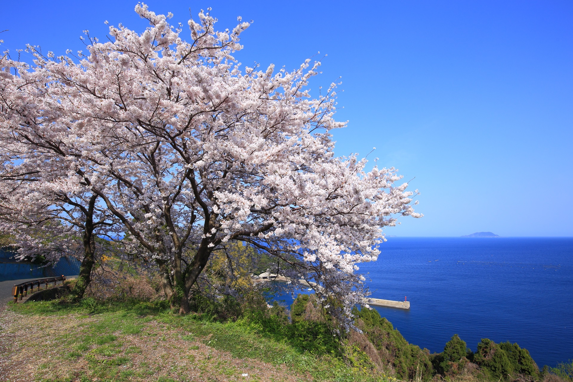 新井の空と海を彩る桜