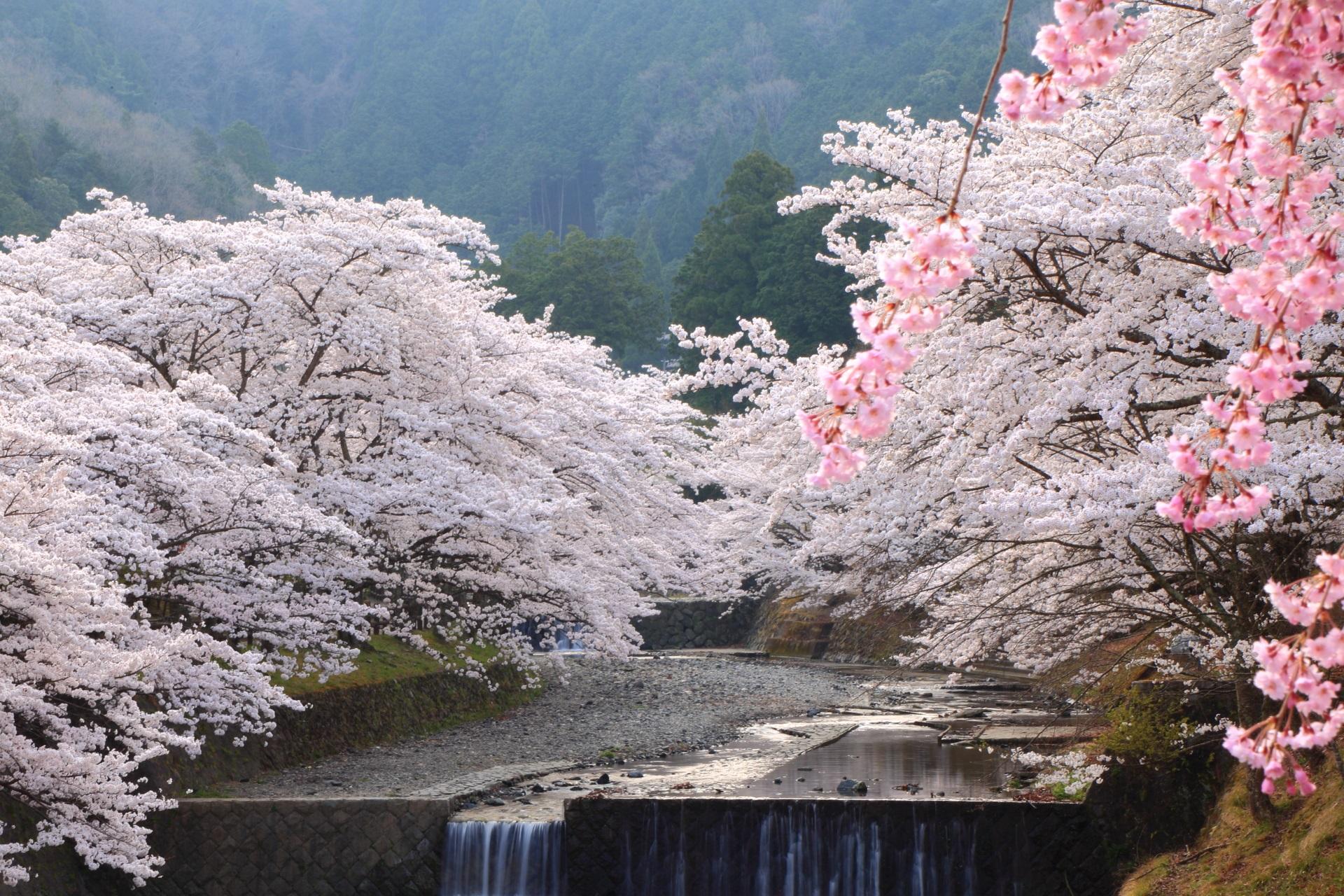 白い炎のように咲き誇る弾けんばかりの桜