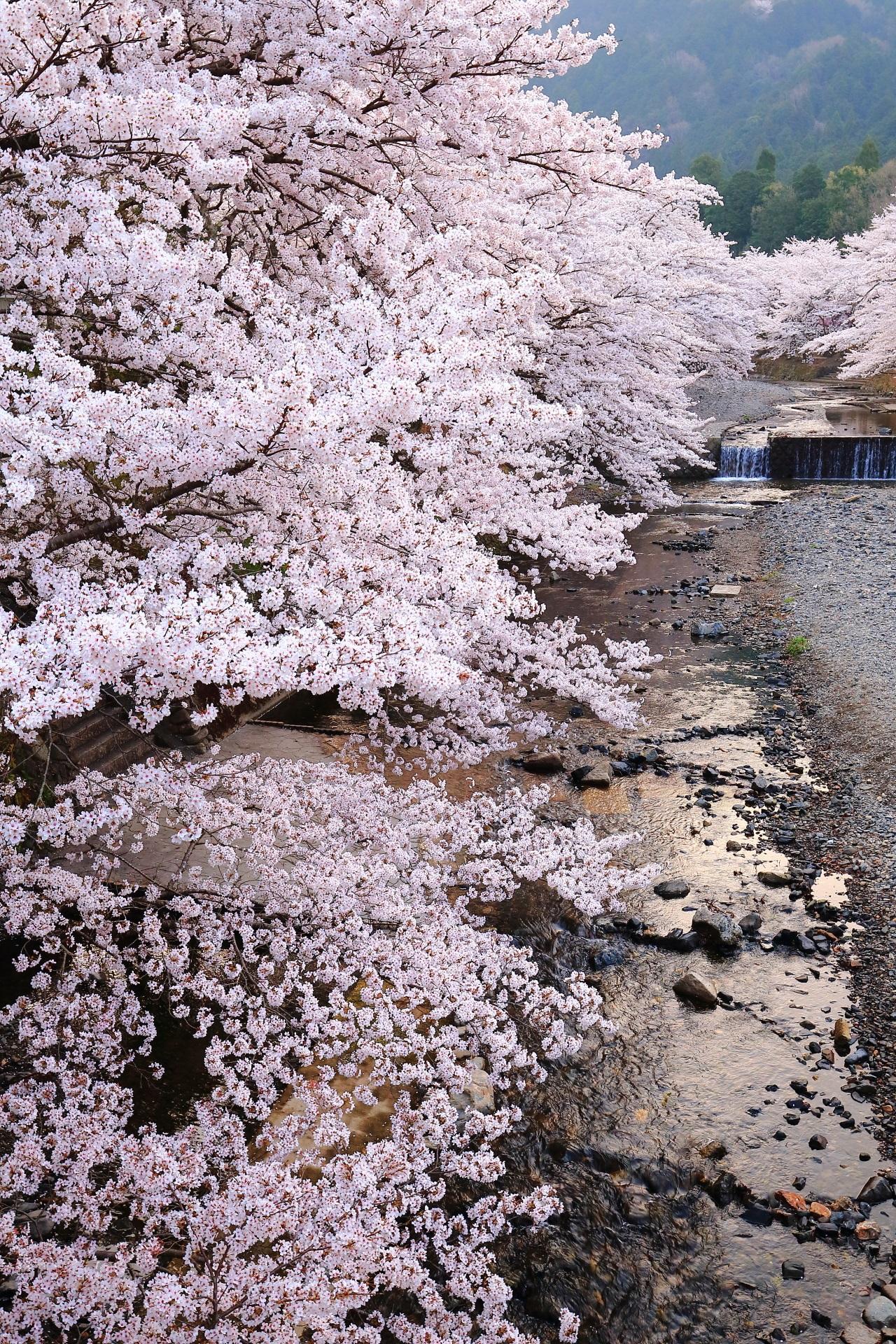 七谷川を覆うように咲き誇る桜