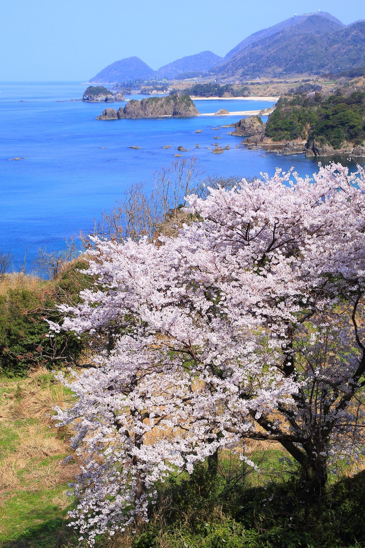 丹後松島の海の絶景を背に溢れんばかりに咲き誇る桜