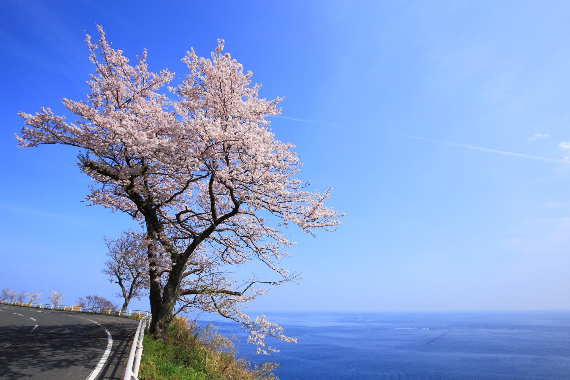 カマヤ海岸の海に立つ夢の中のような桜