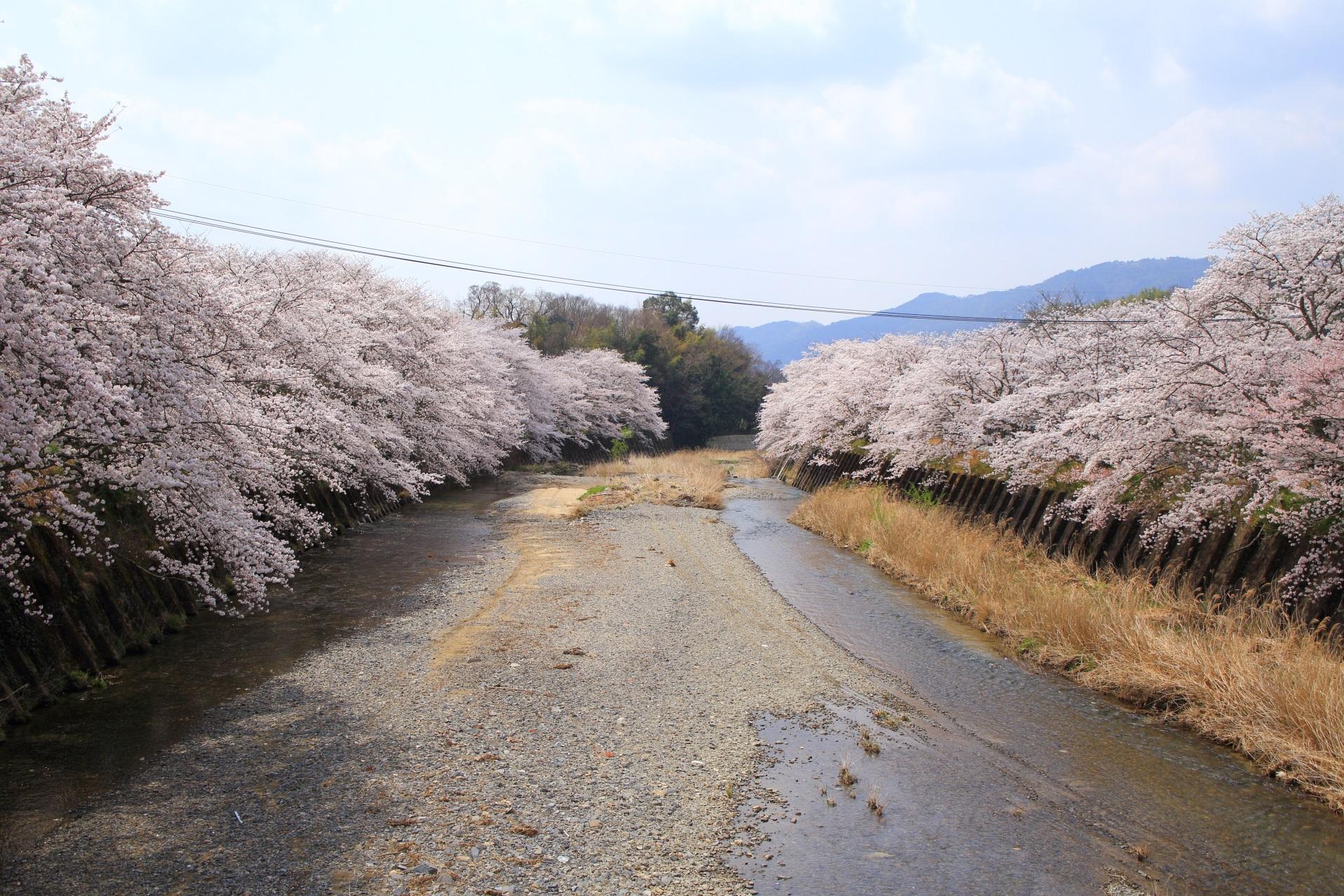 和束町の祝橋(いわいばし)の桜