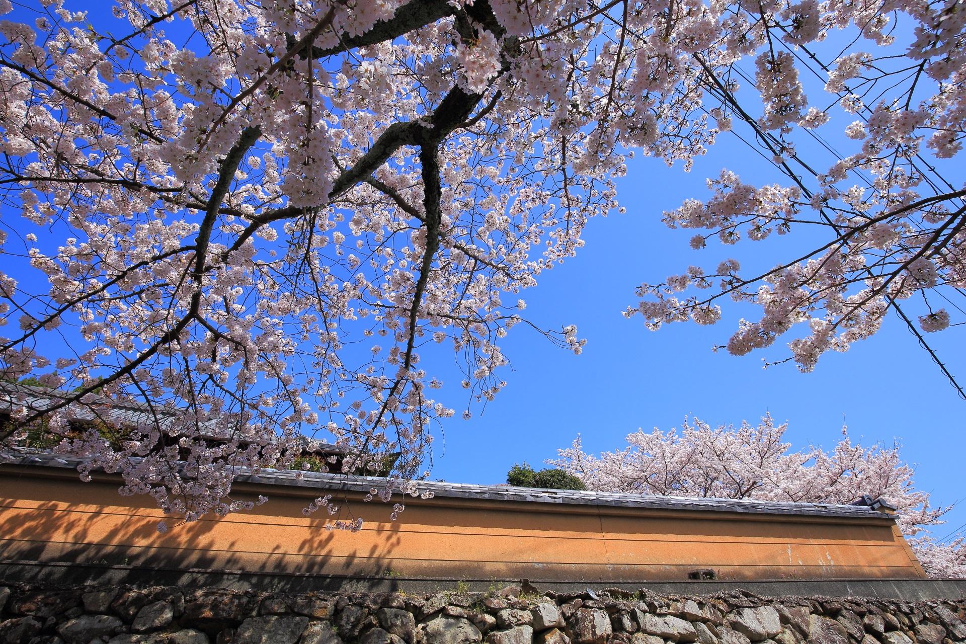 願徳寺の土塀沿いの華やかな桜