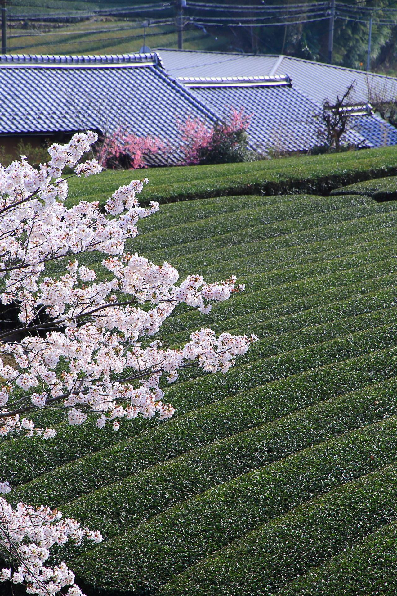 和束町の美しい桜とお茶畑や春色の情景
