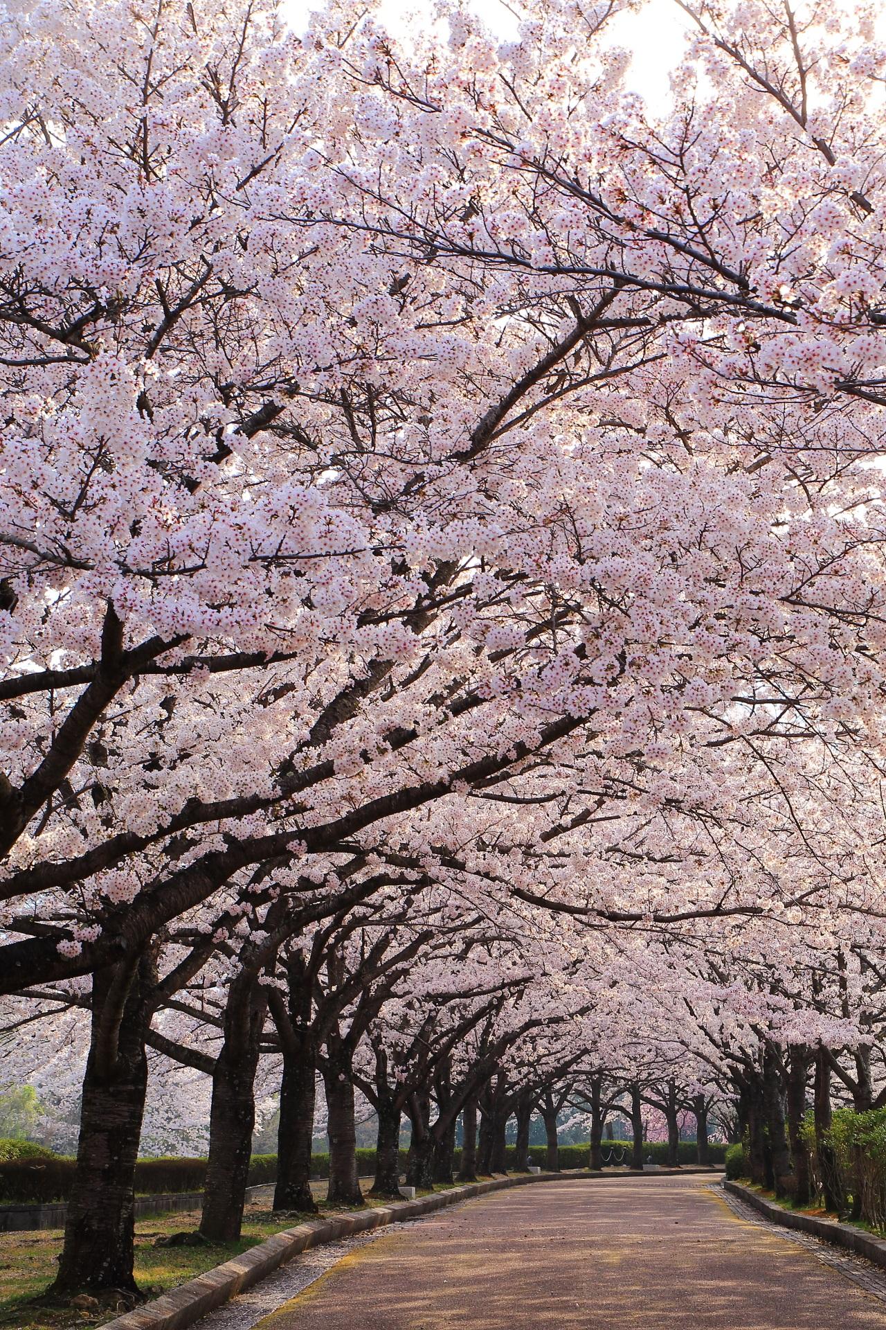 和らぎの道の素晴らしい桜と春の情景