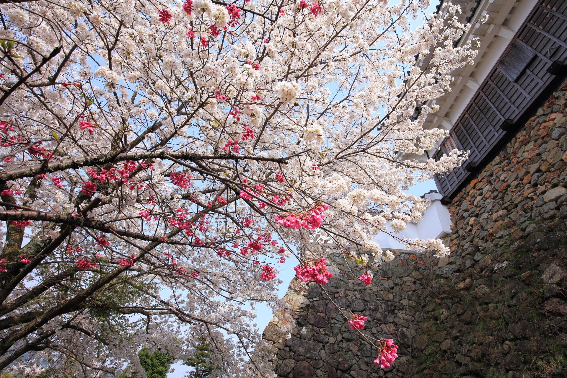 福知山城の石垣と桜