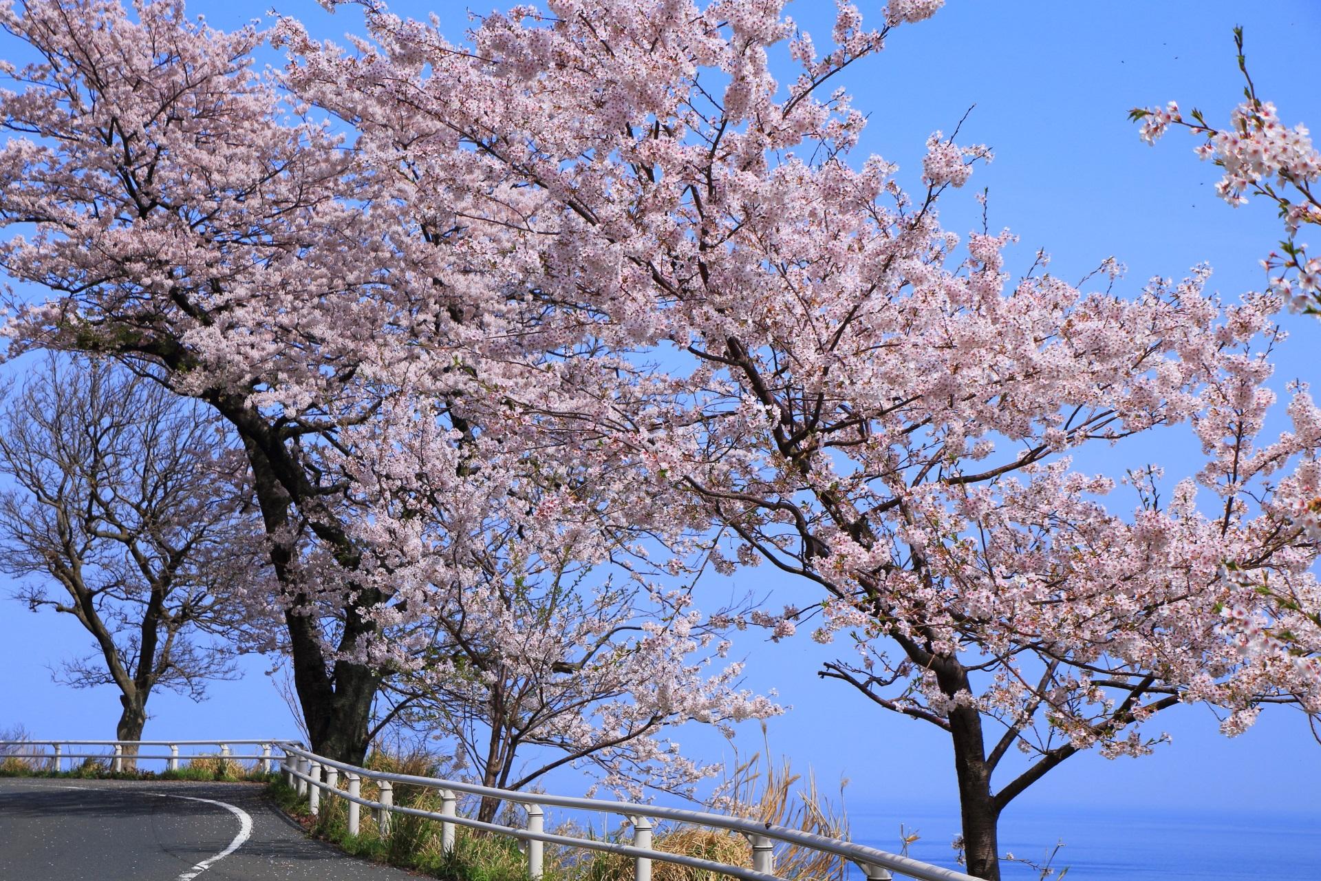 桜色に染まる春のカマヤ海岸