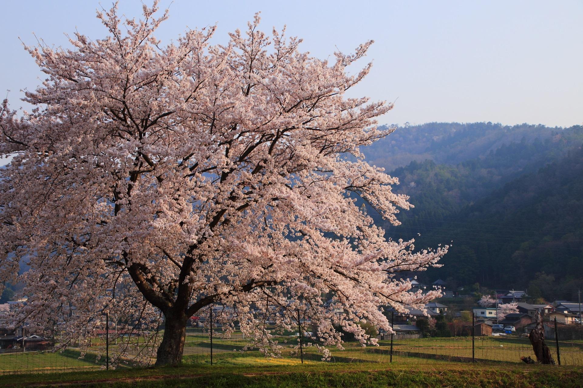 和らぎの道の近くにある一本桜