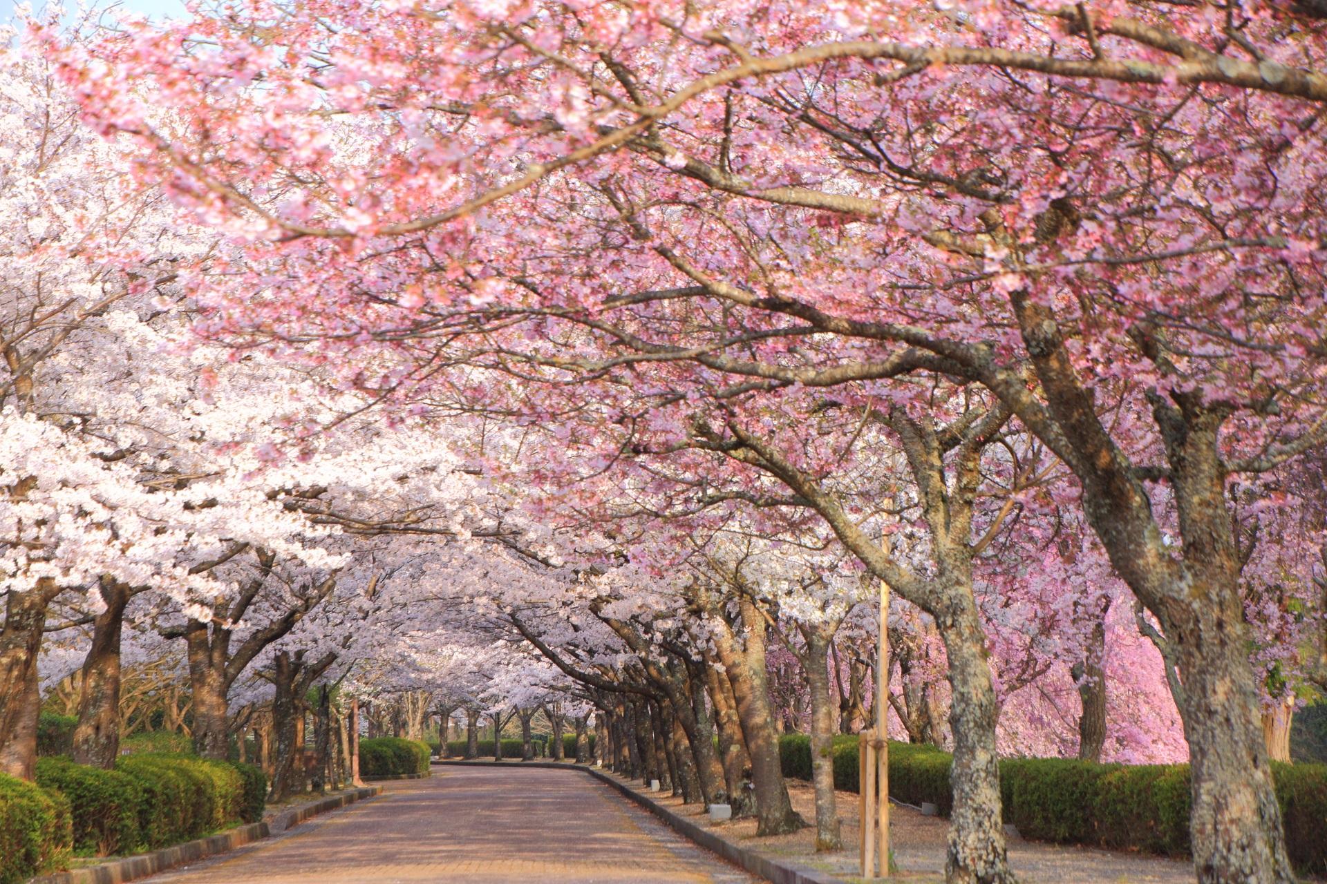 和らぎの道の煌びやかな桜