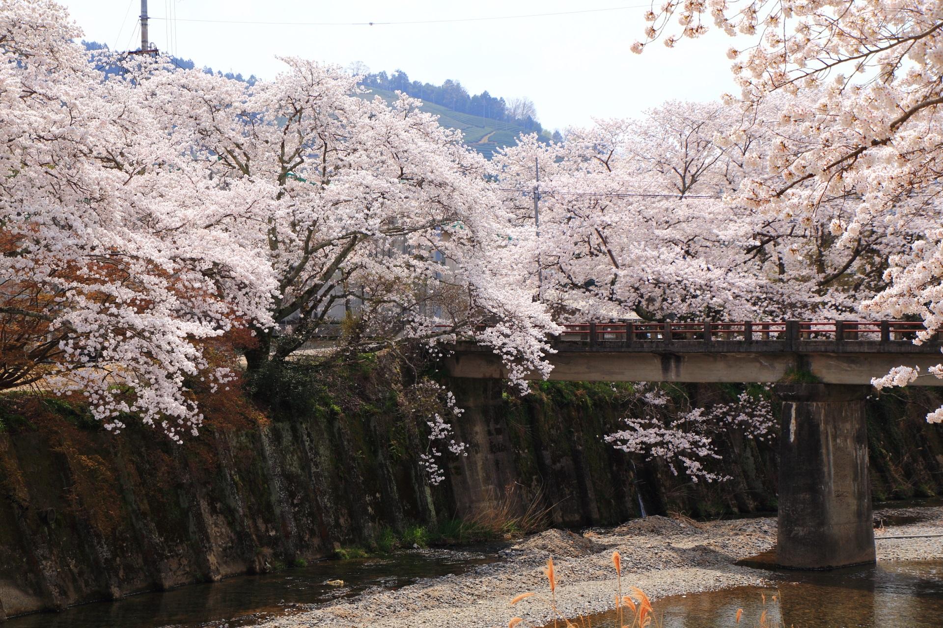 和束町の川と橋を染める桜