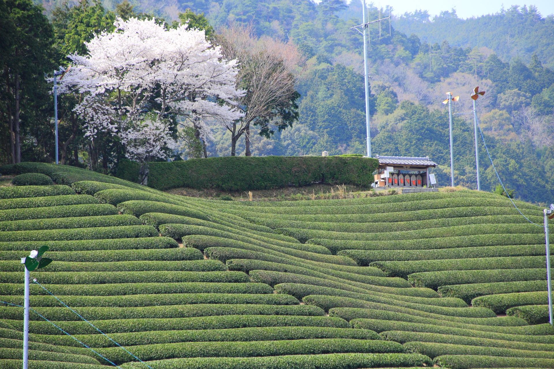 和束町の白栖の桜