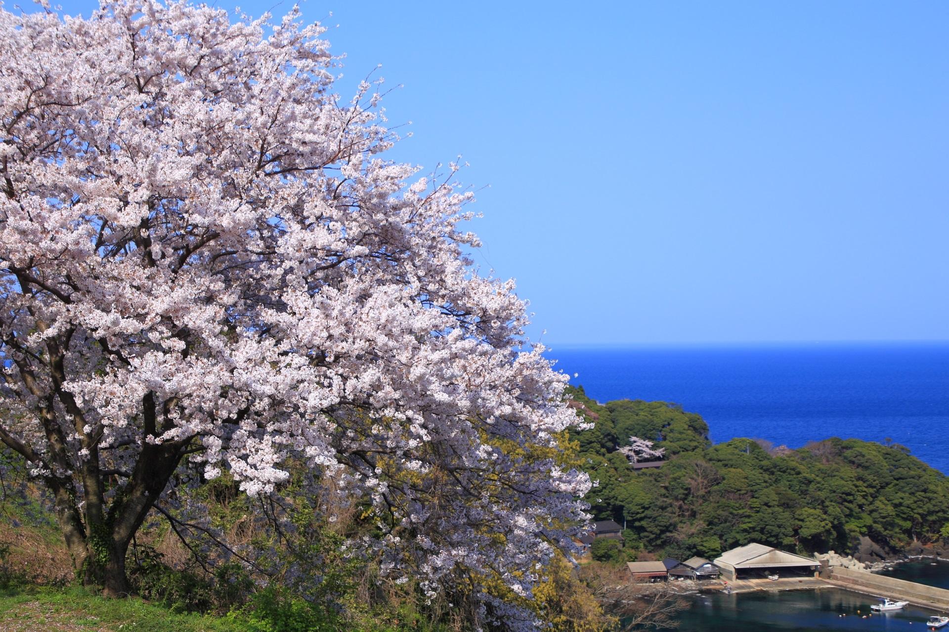 新井の情緒ある漁港とコバルトブルーの海を染める桜