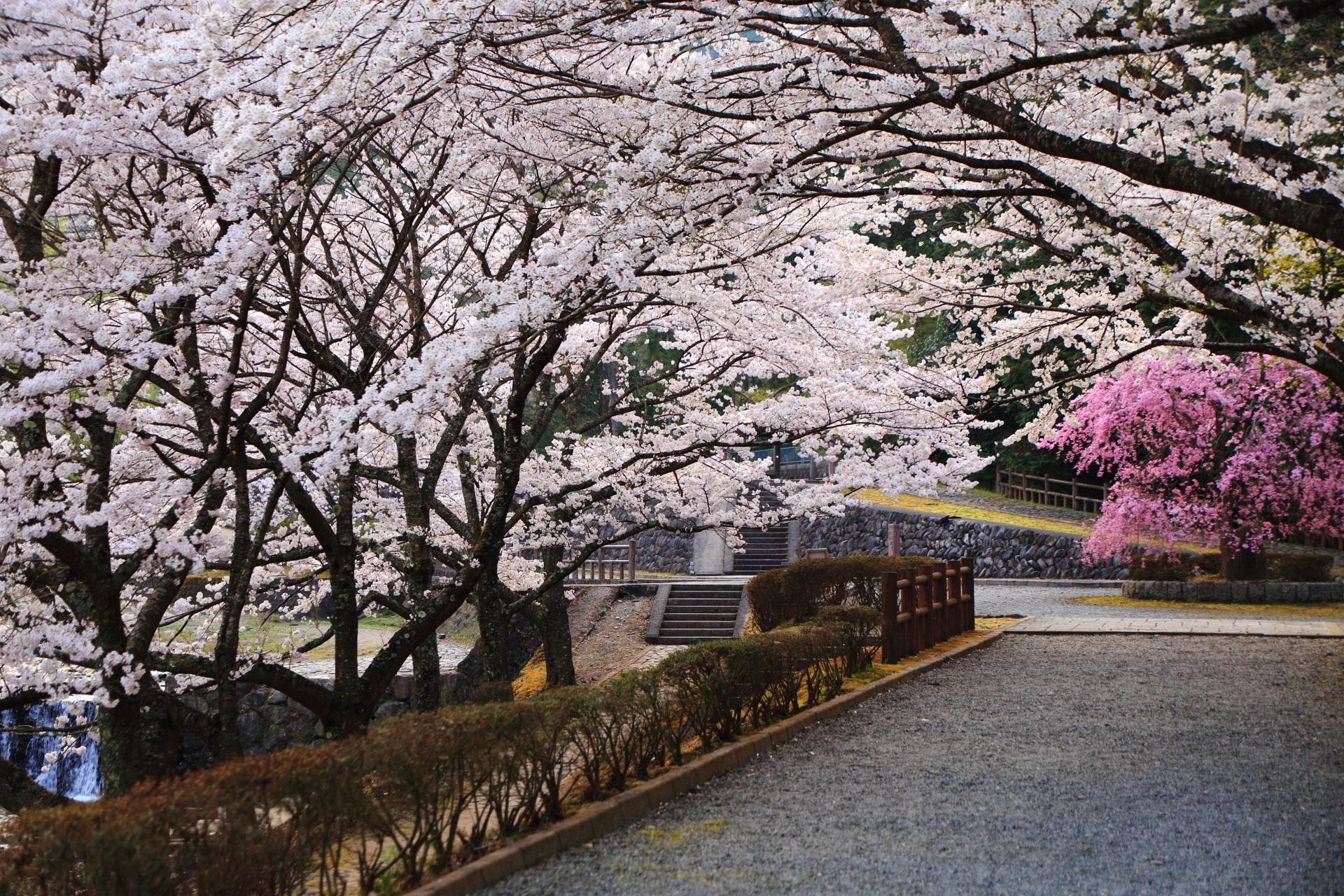七谷川の鮮やかなしだれ桜と華やかなソメイヨシノ