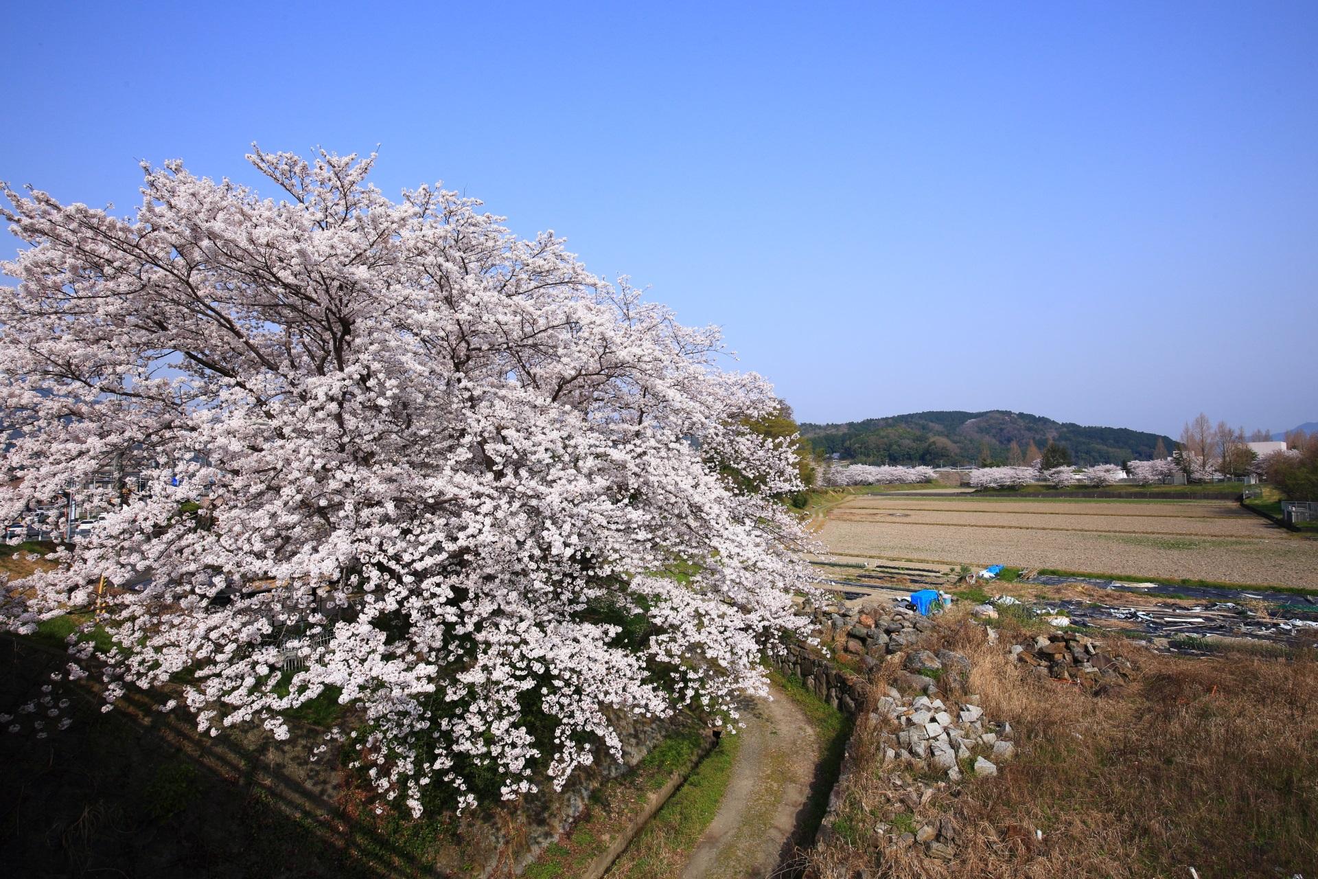 亀岡の田園を彩る絶品の桜